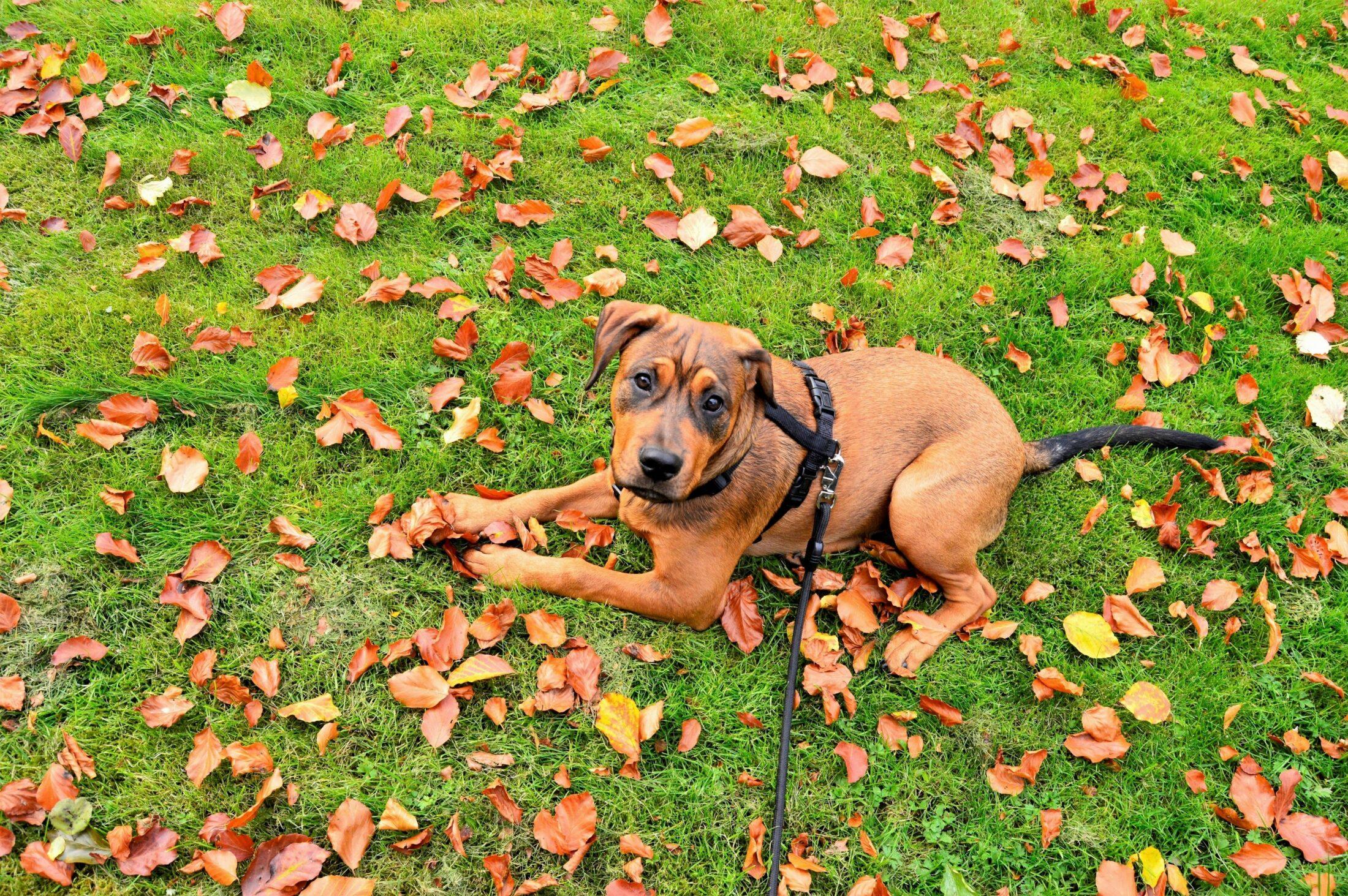 cachorro ocm ciúmes deitado na grama