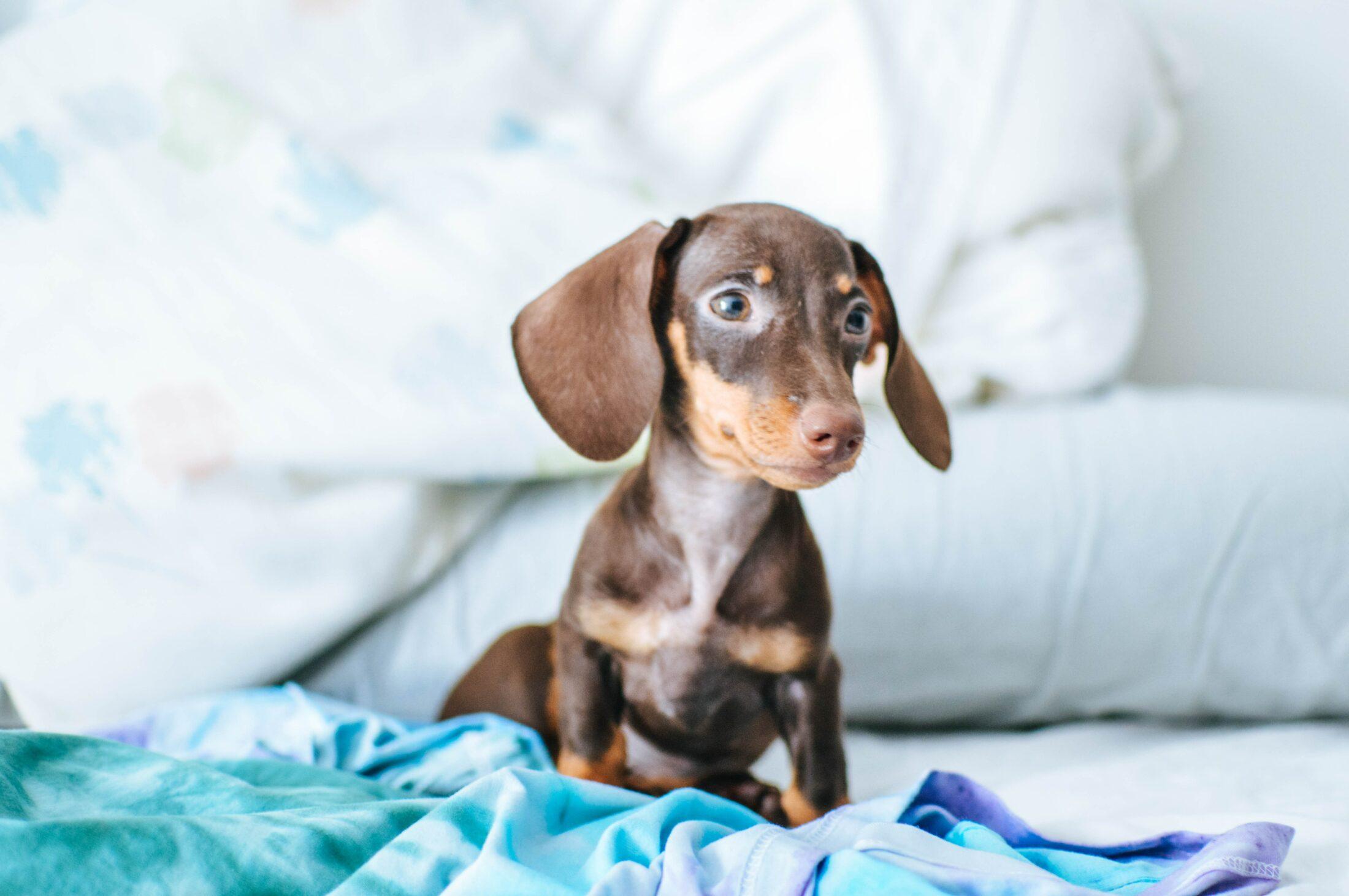 cachorro com olho azul - Dachshund