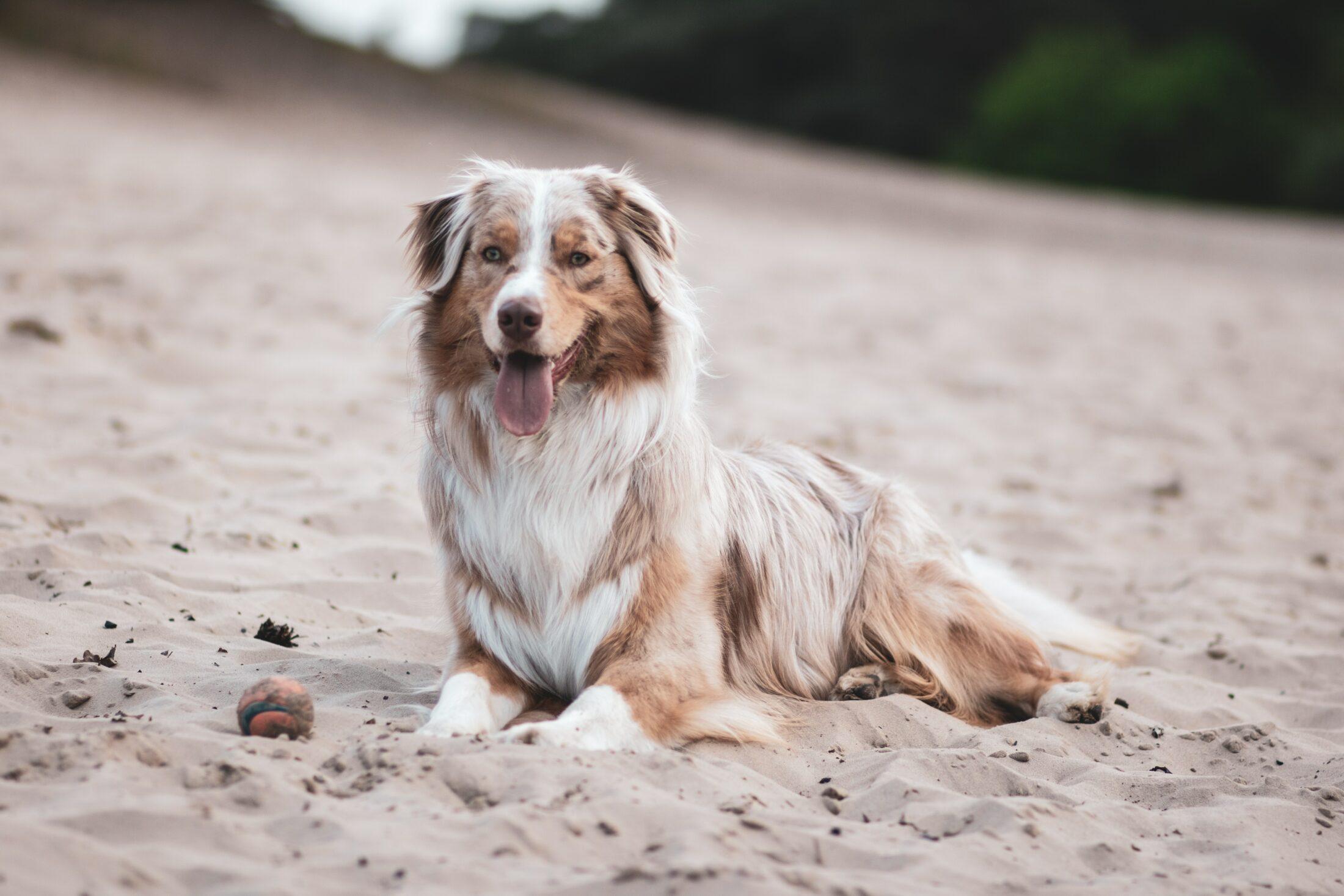 cachorro com olho azul - pastor australiano