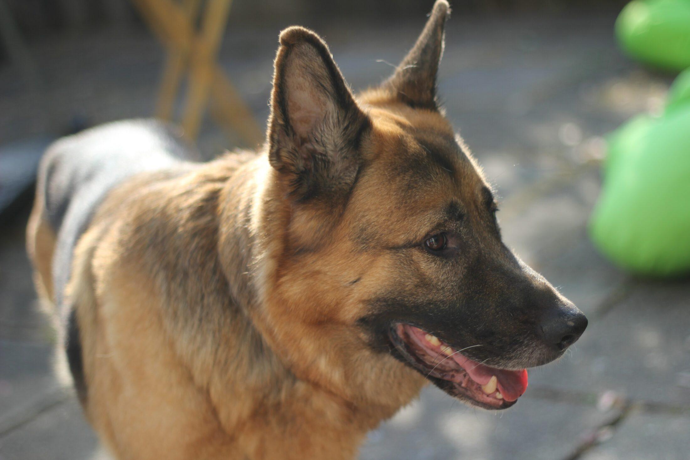 cachorro com olho azul - pastro alemao