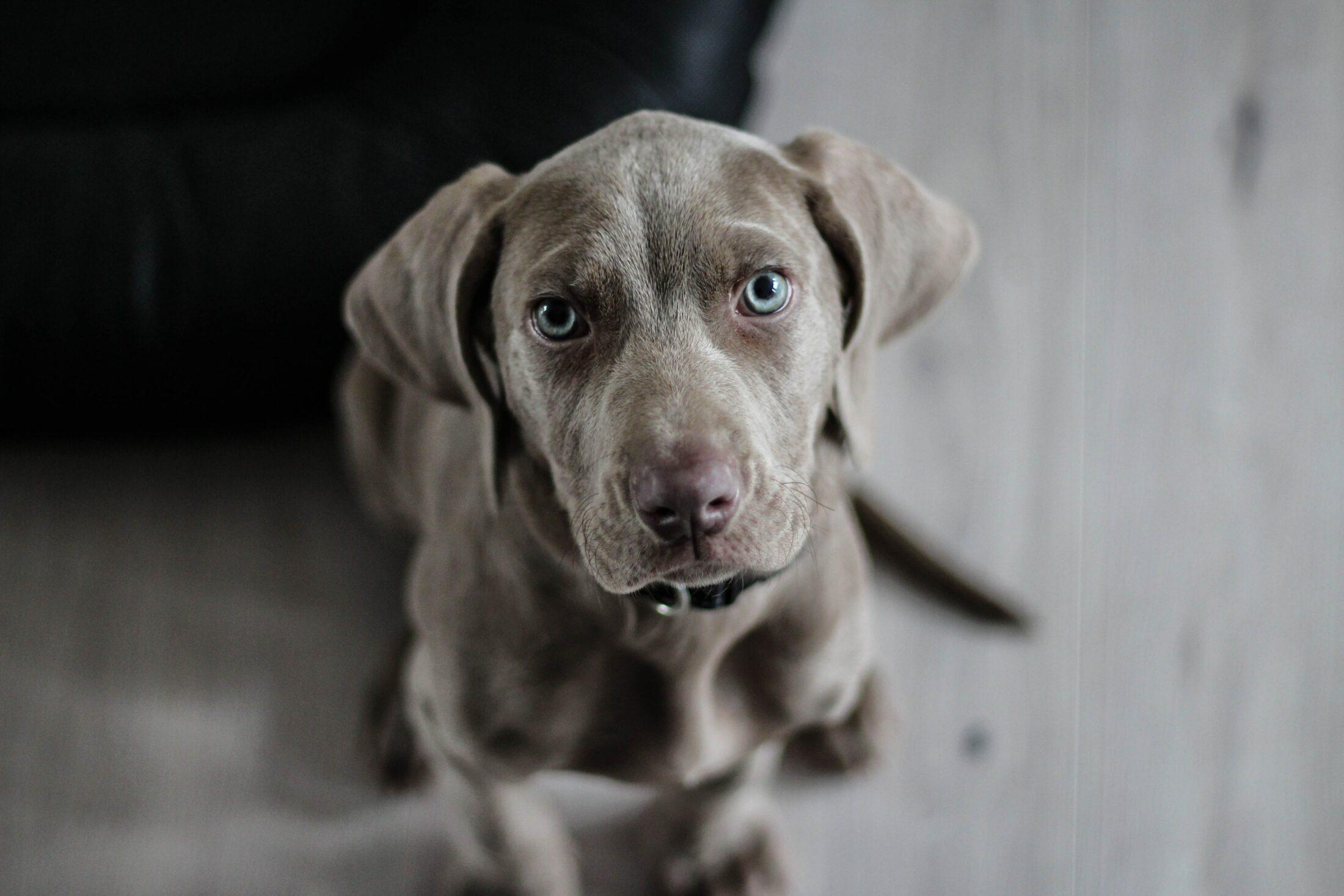 cachorro com olho azul - weimaraner