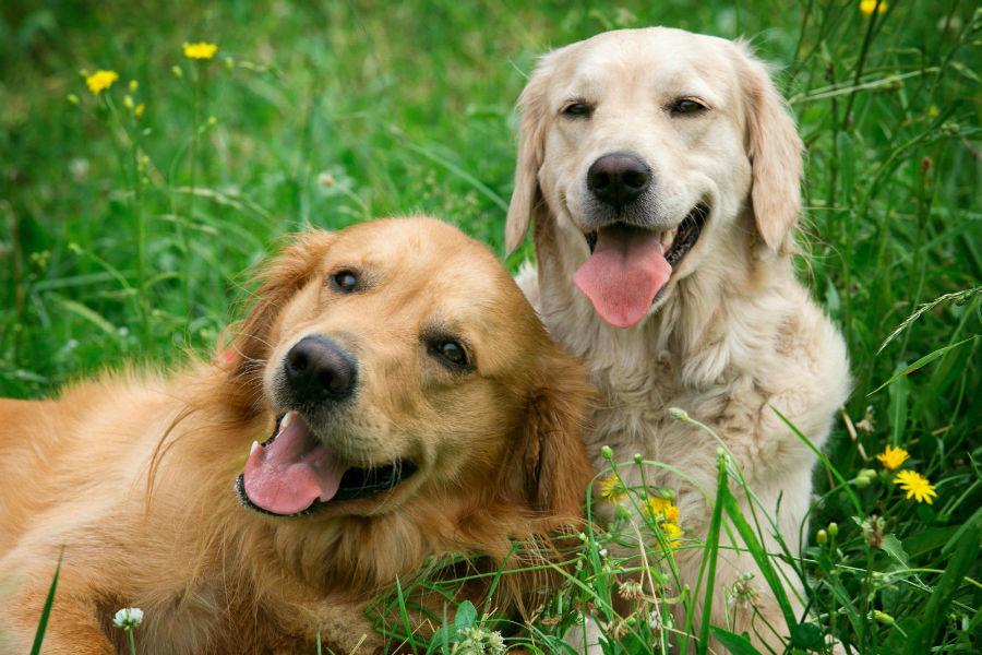 Cachorro filhote: Casal de Golden Retrievers caramelo e branco.