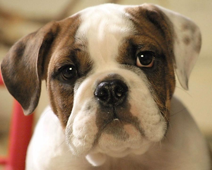 Cachorro filhote: Buldogue inglês filhote.
