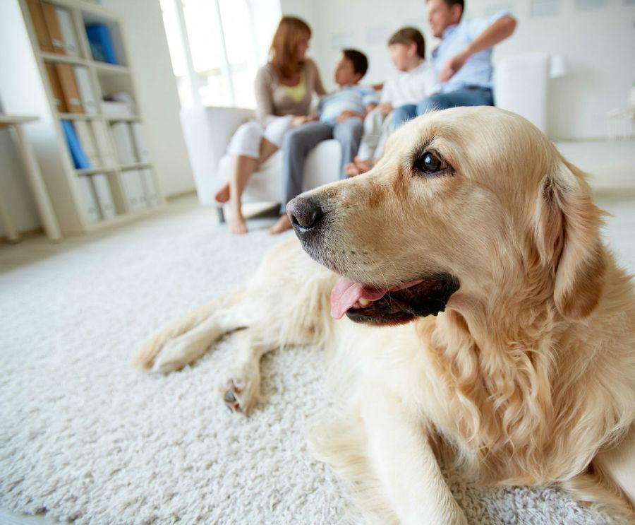 Cachorro filhote: Golden retriever em família na sala.