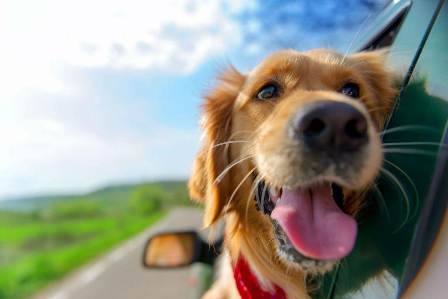 Cachorro filhote: Golden Retriever passeando de carro.