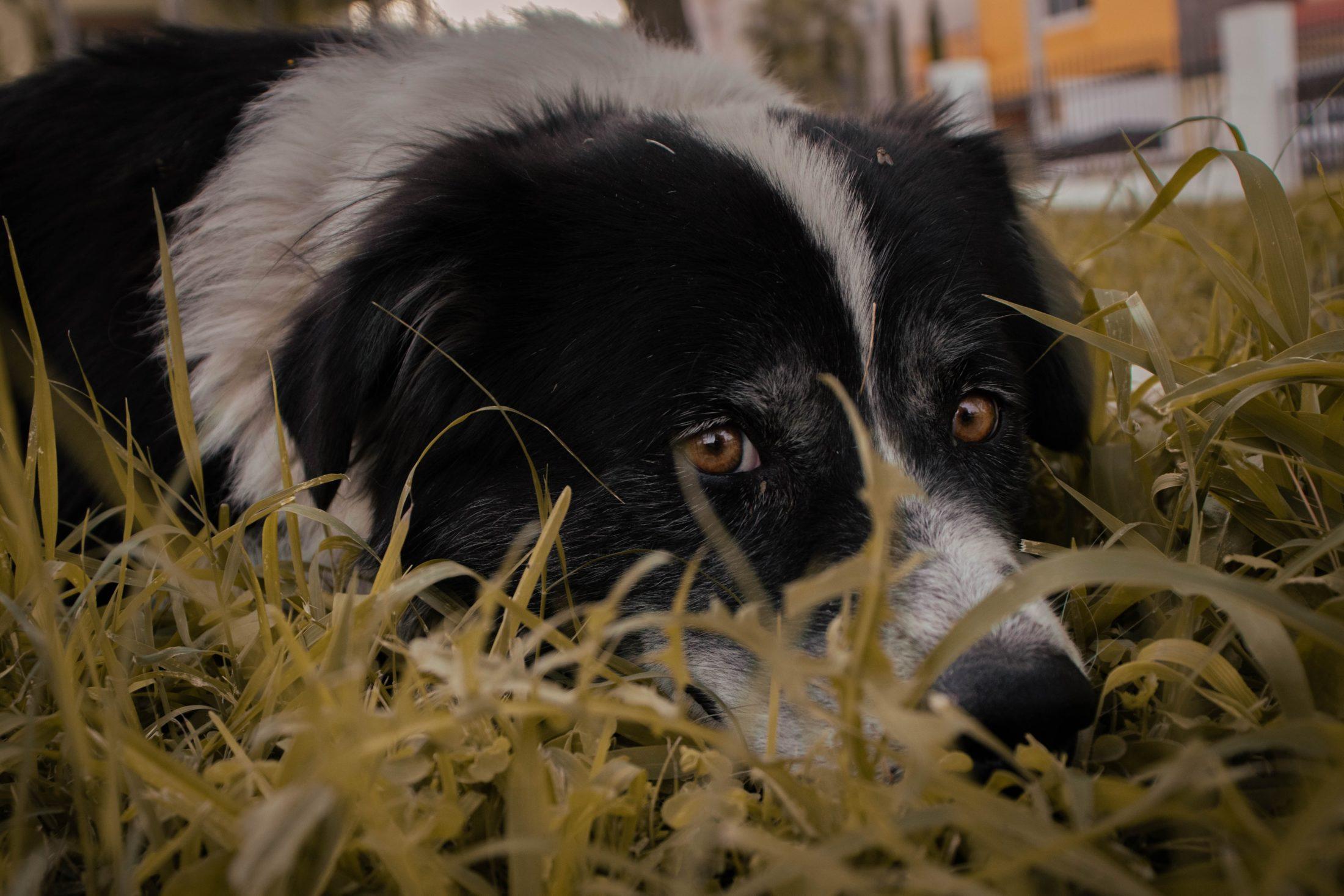 cachorro confuso deitado na grama