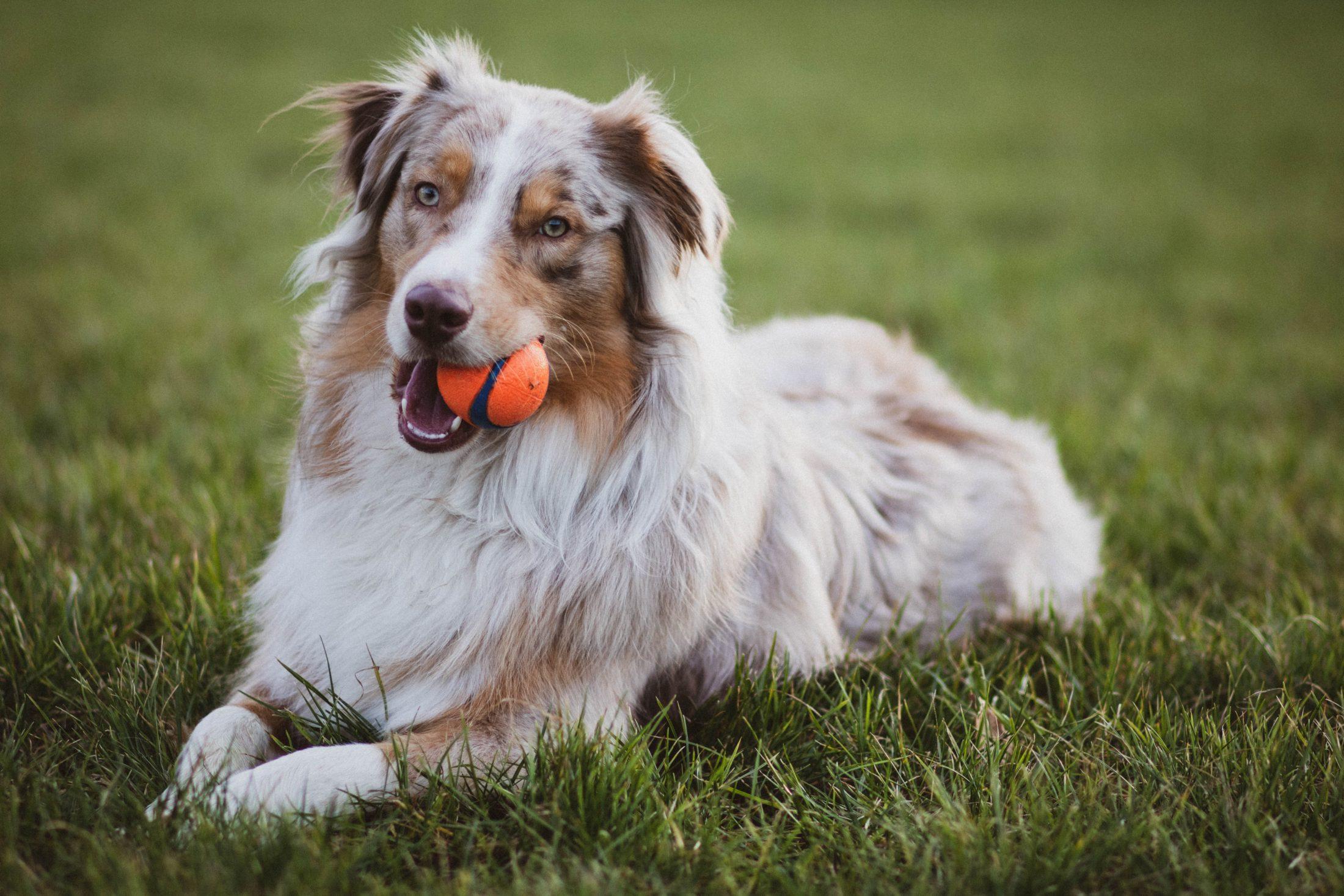 O cachorro confuso pode não saber com o que brincar.