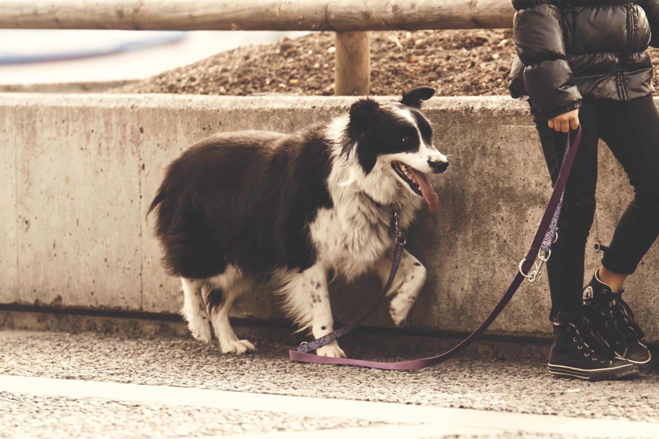cachorro na coleira passeando com dono