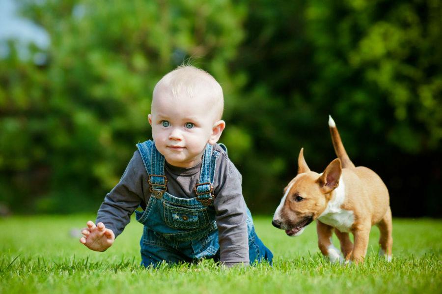 cachorro-crianca-bull-terrier