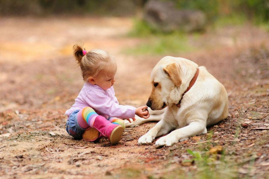 cachorro-crianca-labrador