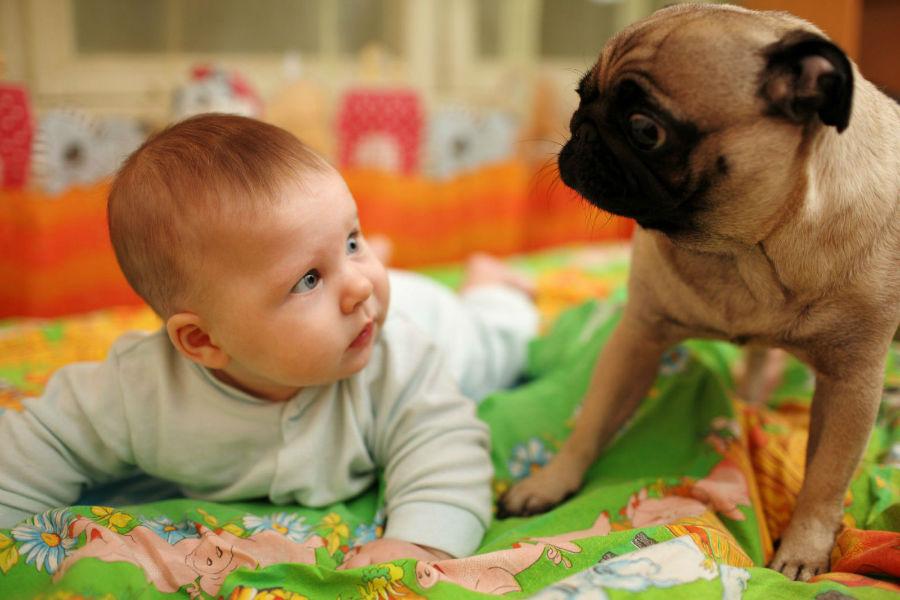 cachorro-crianca-pug