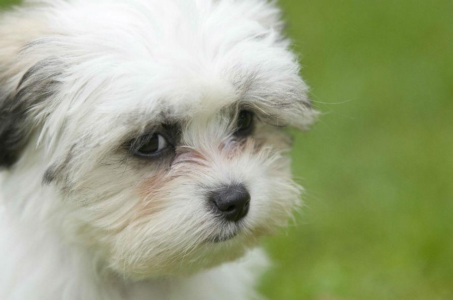 cachorro-crianca-shitzu