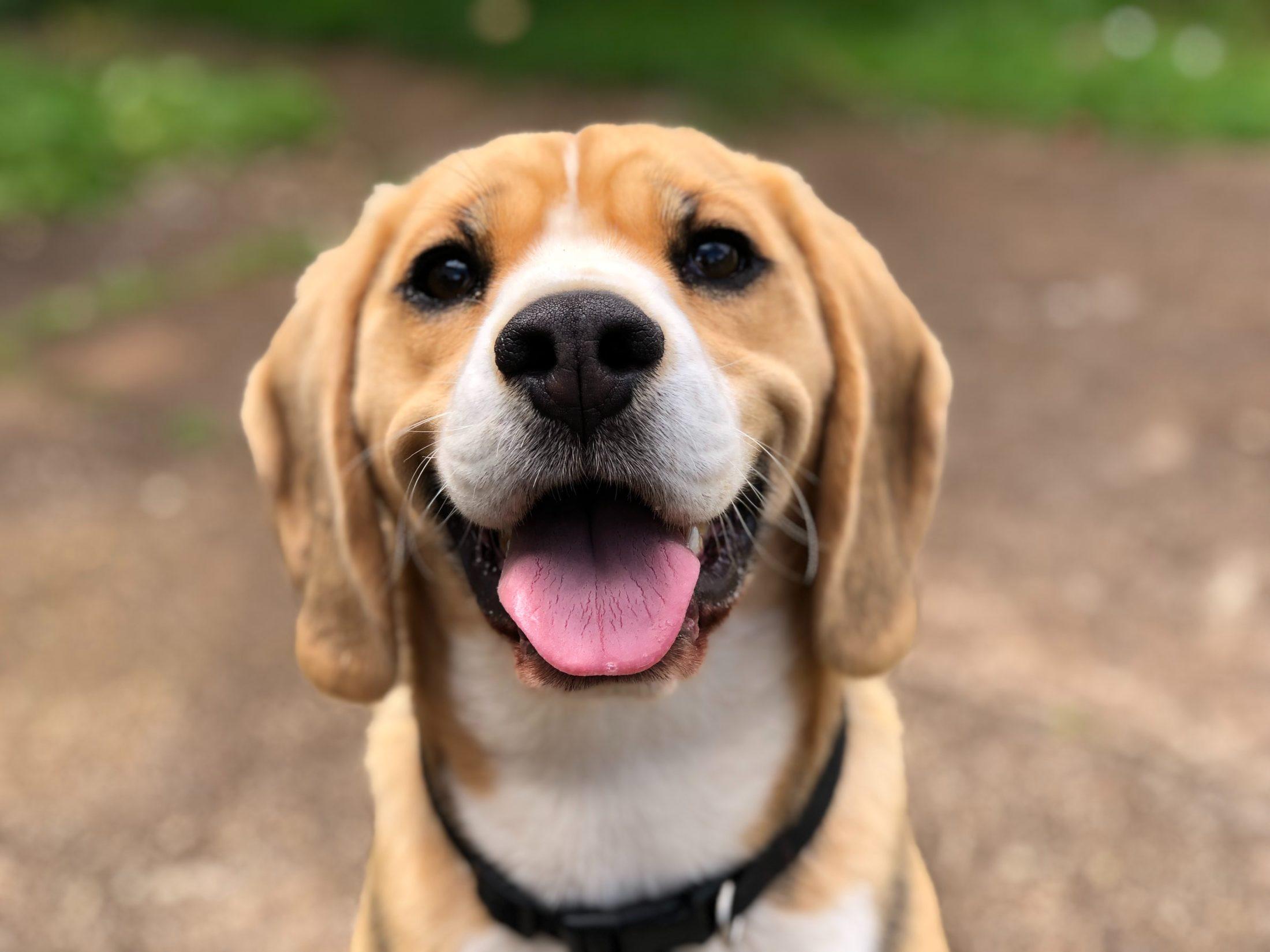 cachorro destruidor beagle