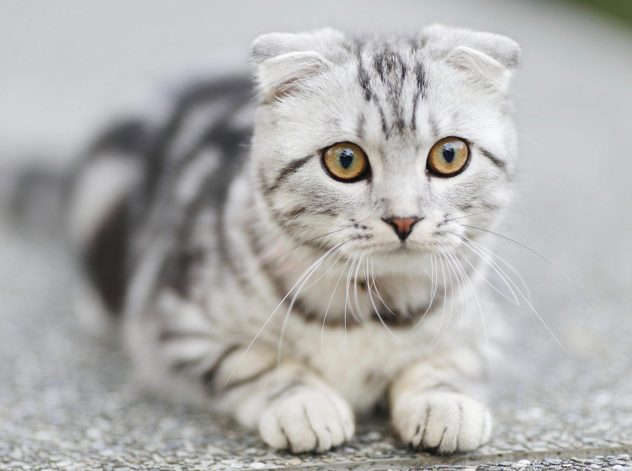 gato deitado no carpete