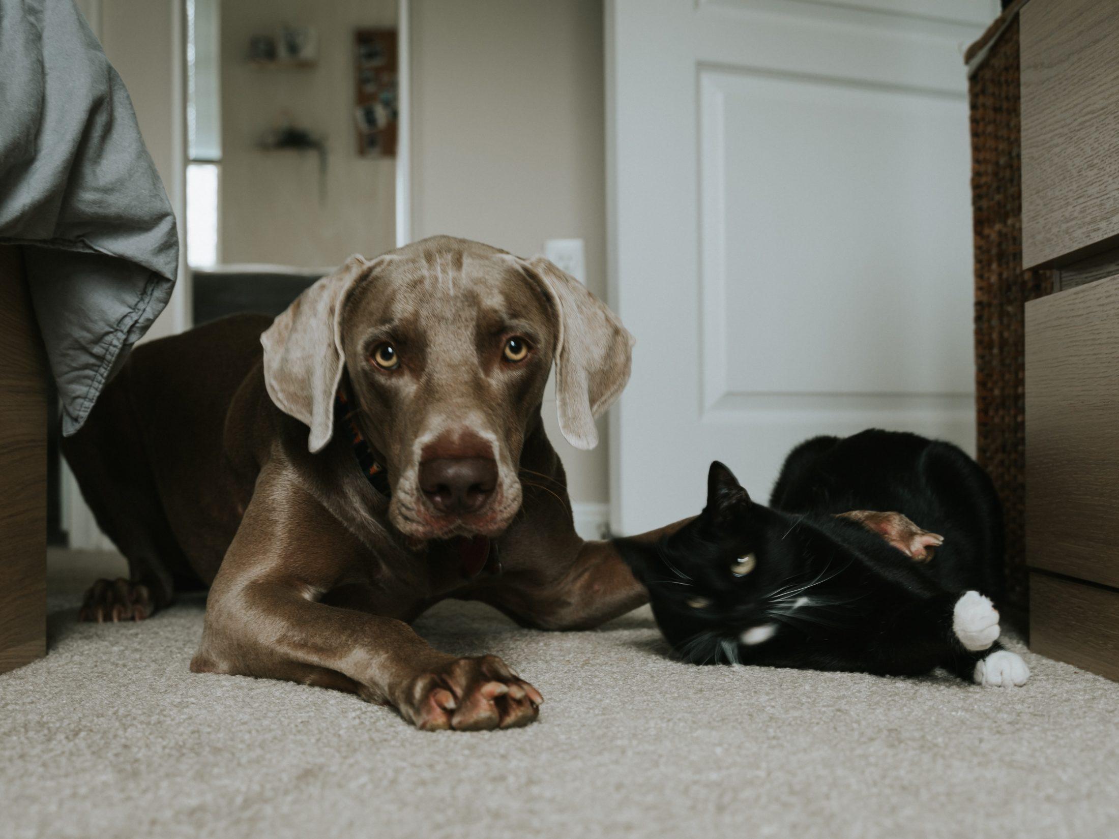 cachorro e gato deitados juntos no tapaete da sala