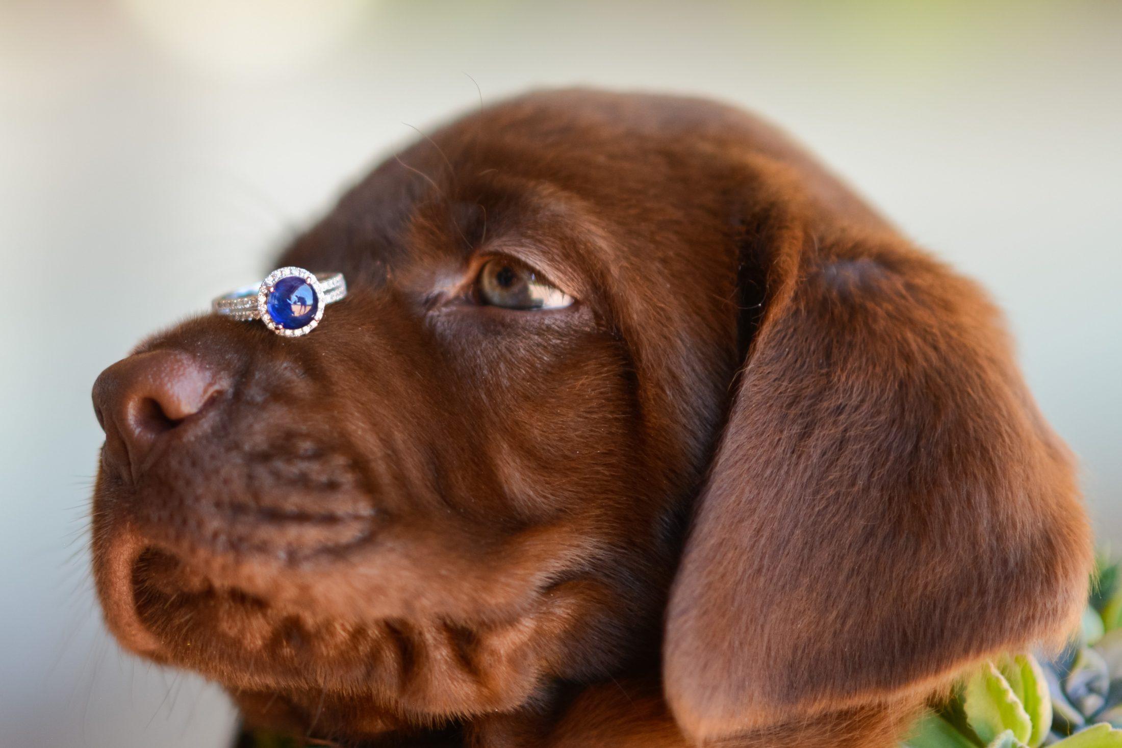 filhote de labrador com anel de noivado equilibrado no focinho.