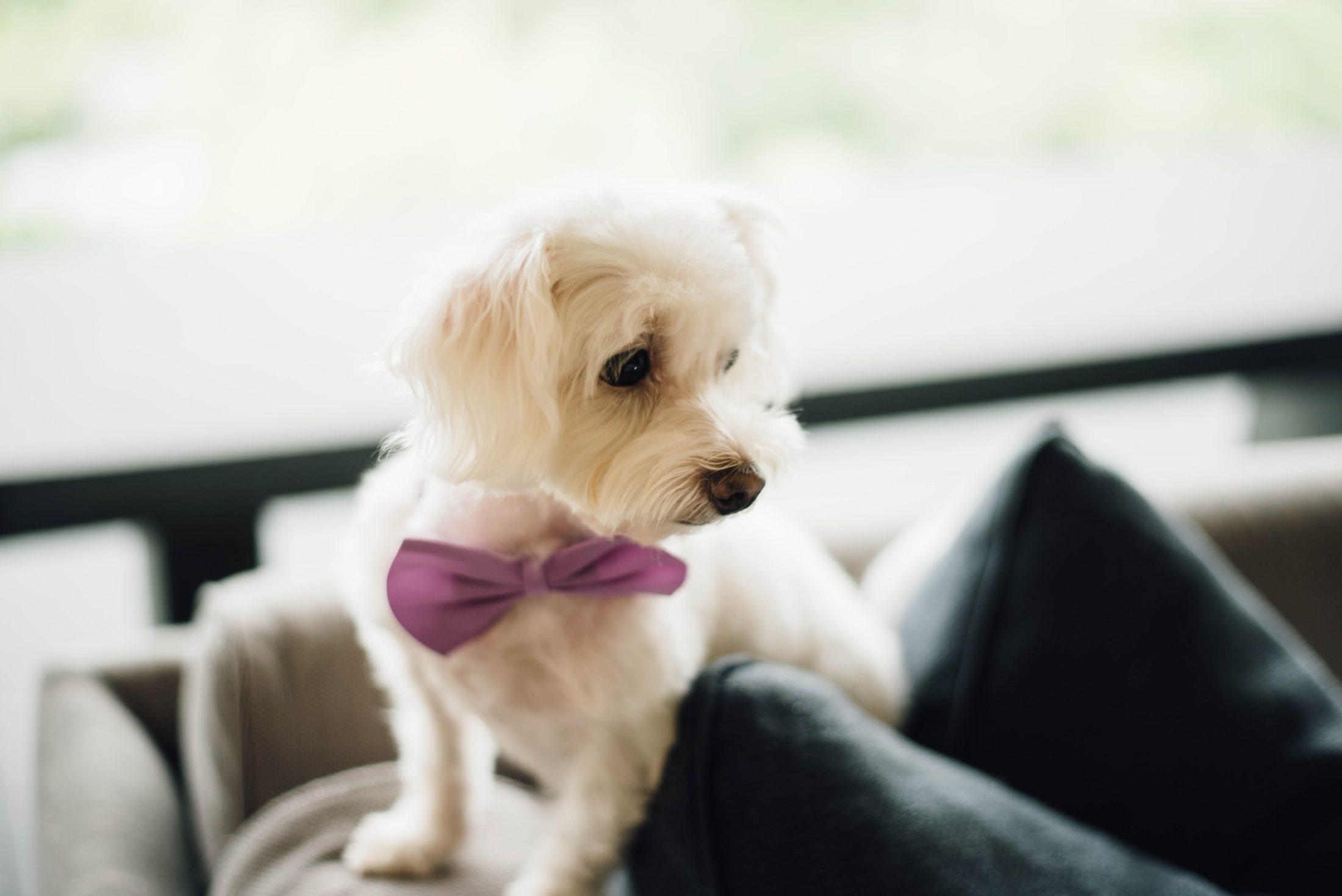 cachorro em casamentos de gravatinha borboleta lilás