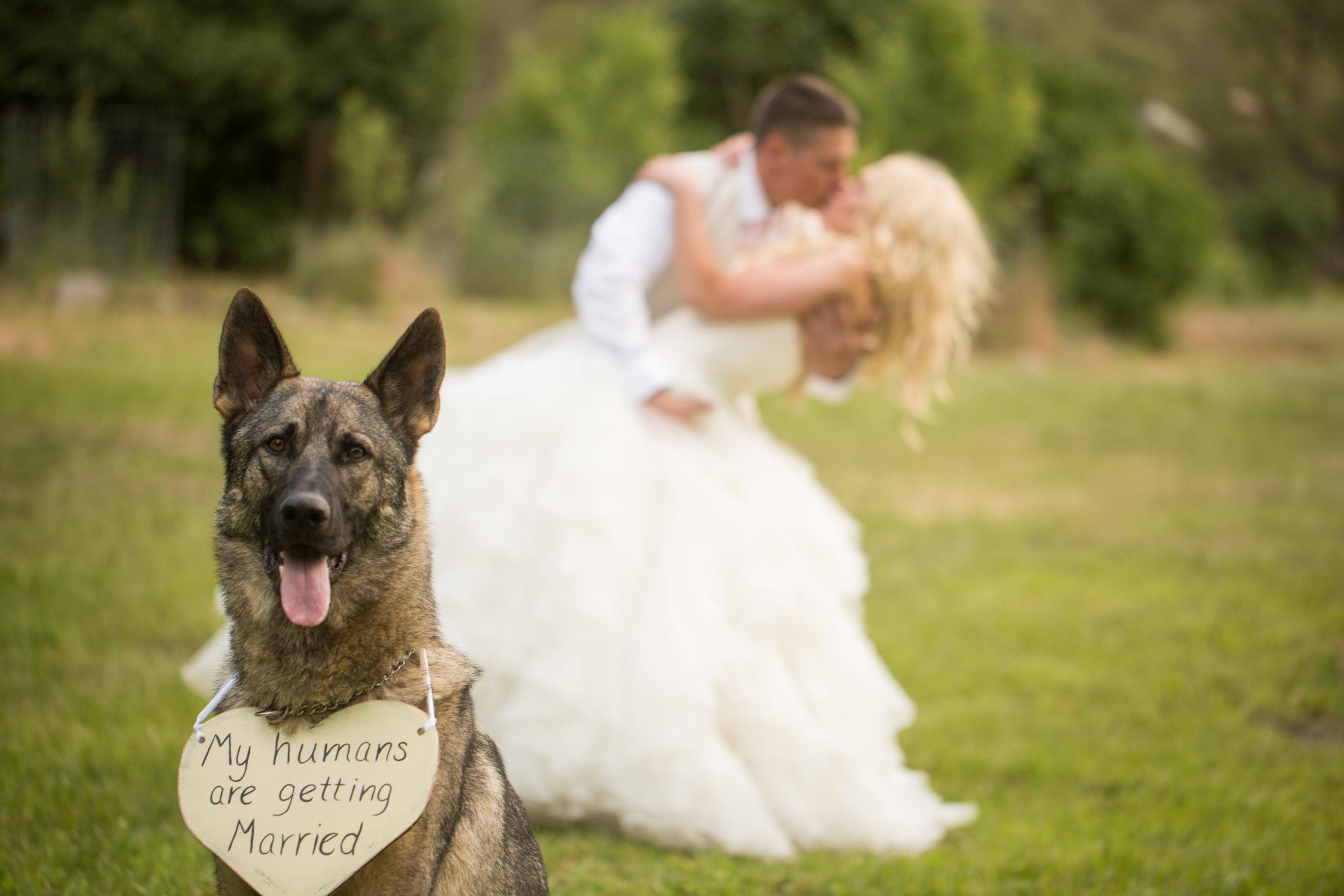 pastor alemão com plaquinha pendurada no pescoço no parque com noivos ao fundo