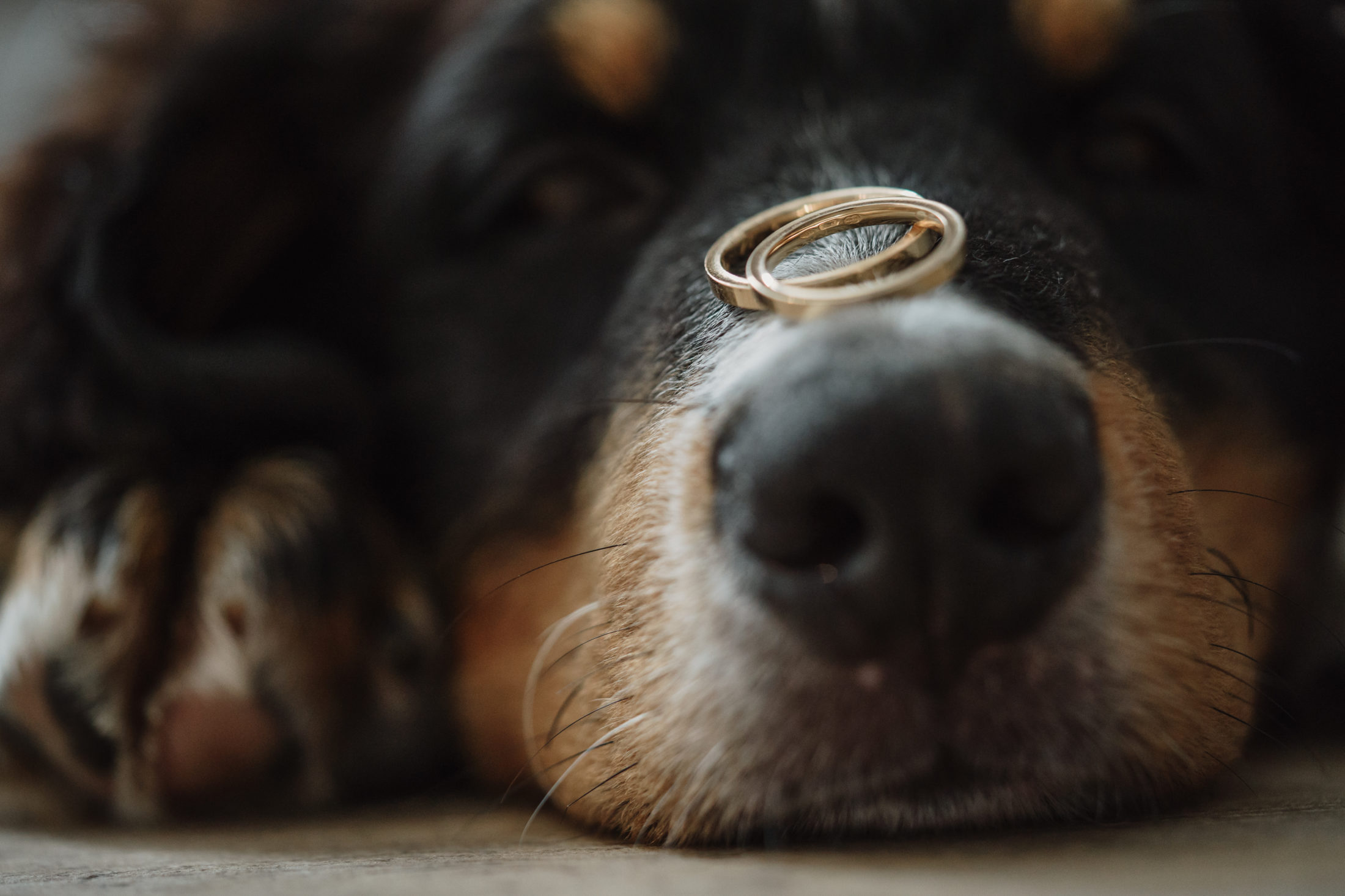 cachorro deitado no chão com alianças no focinho