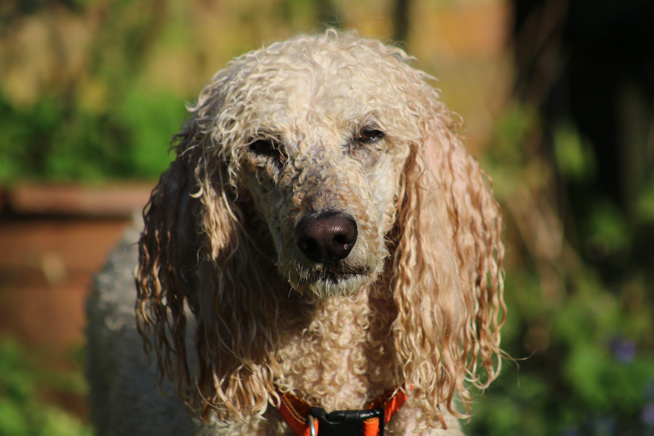 O Poodle é pomposo, mas também pode ser um cachorro esfregão.