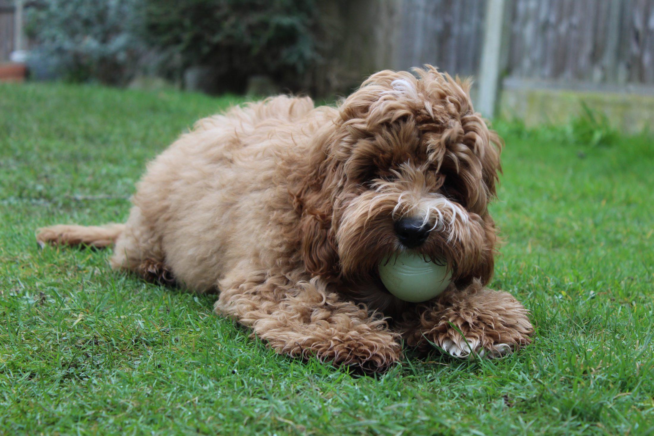 Cachorro esfregão é do tipo estopinha.