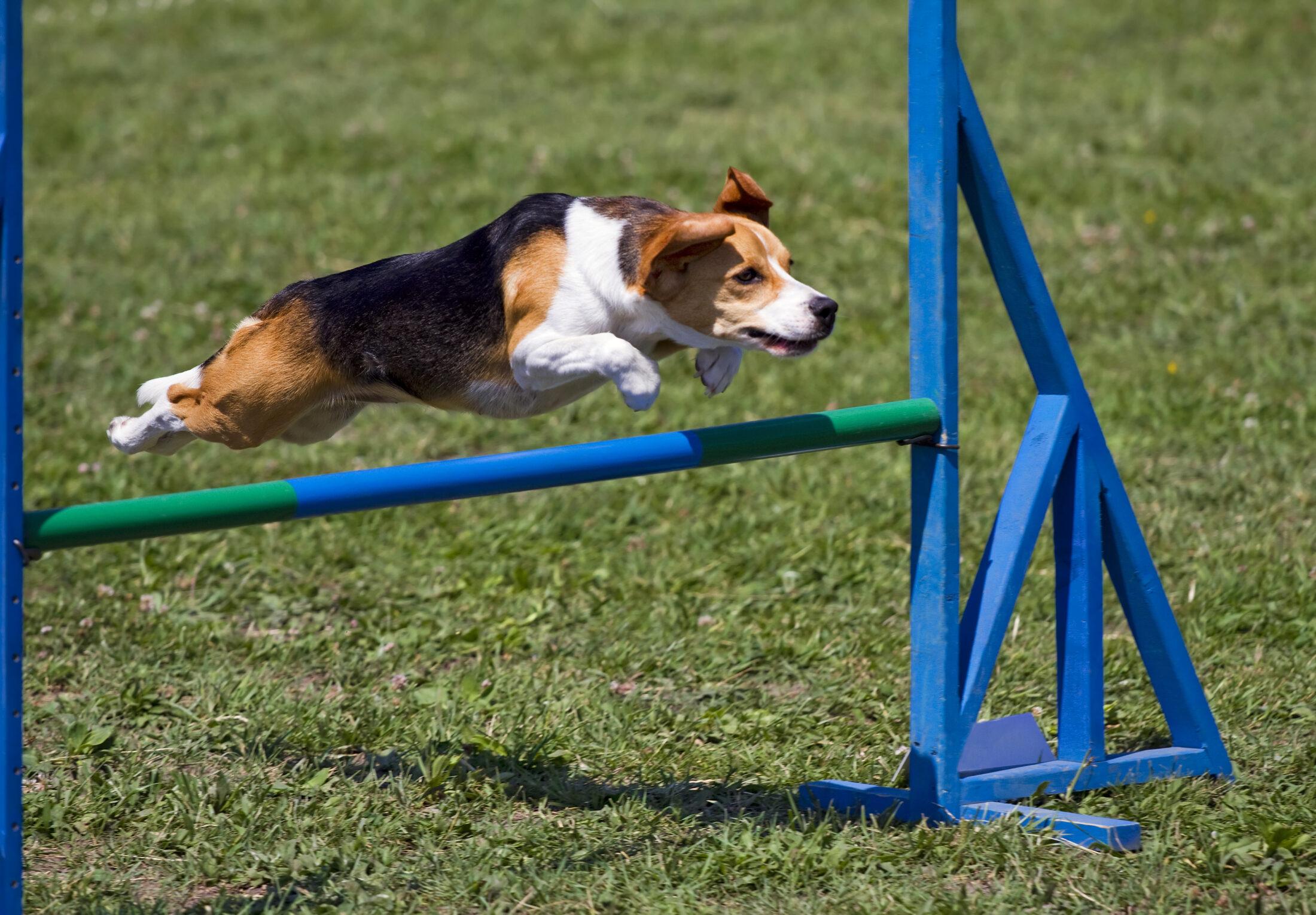 cachorro feliz saltando obstáculos