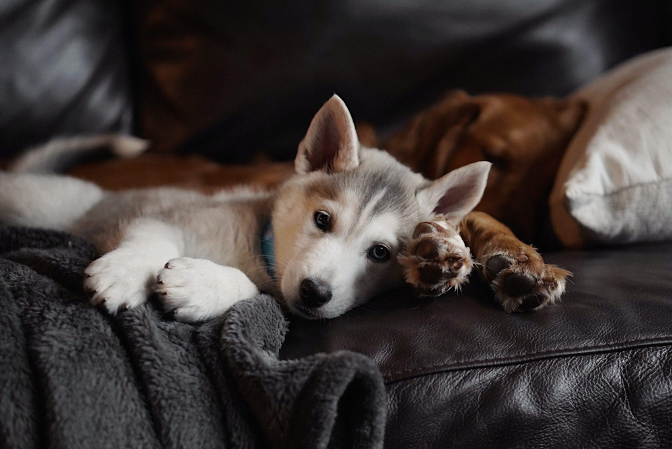 cachorro fêmea husky siberiano deitado no sofá com outro cachorro