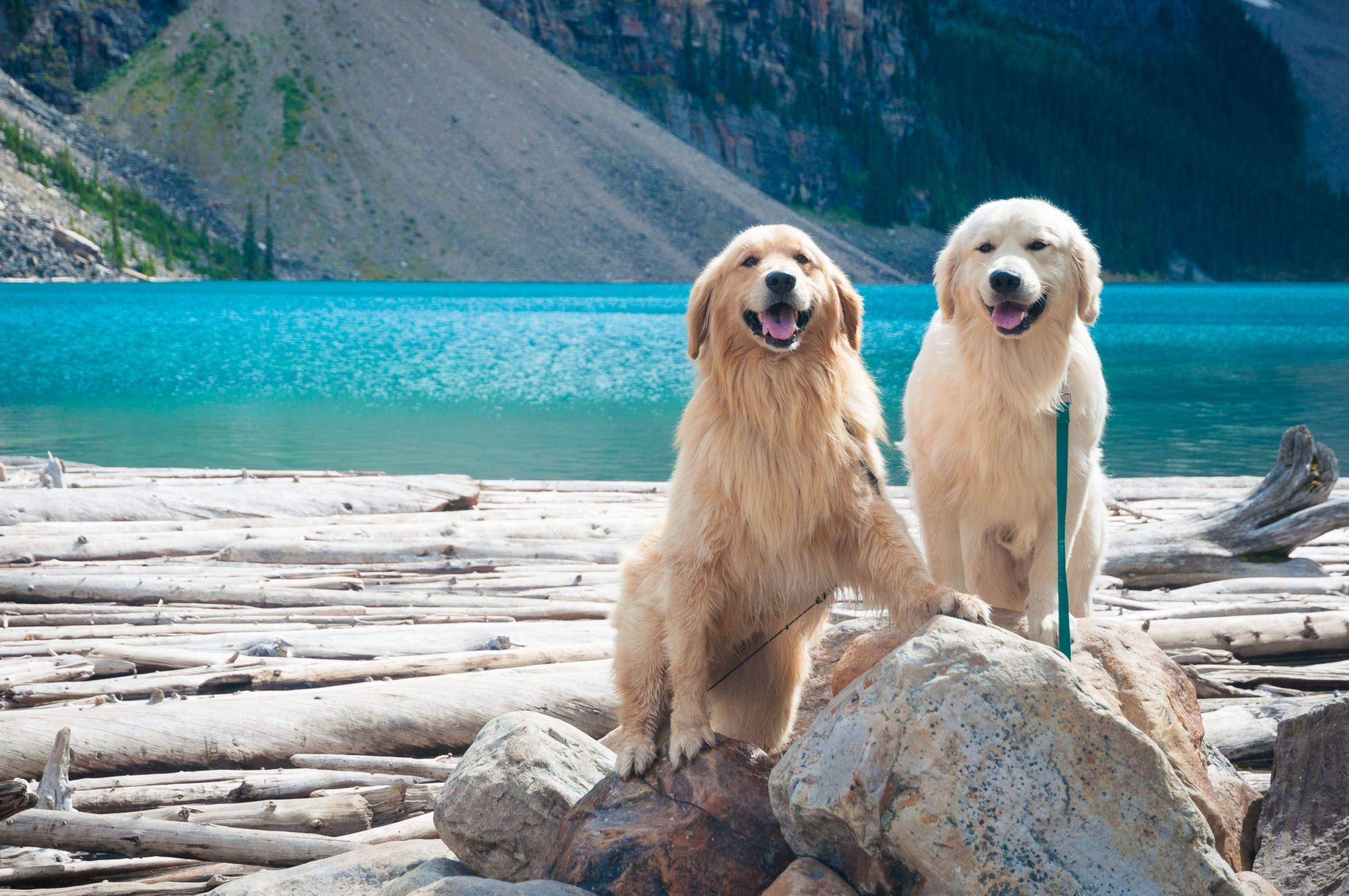cachorro fêmea e macho Golden retriever na praia