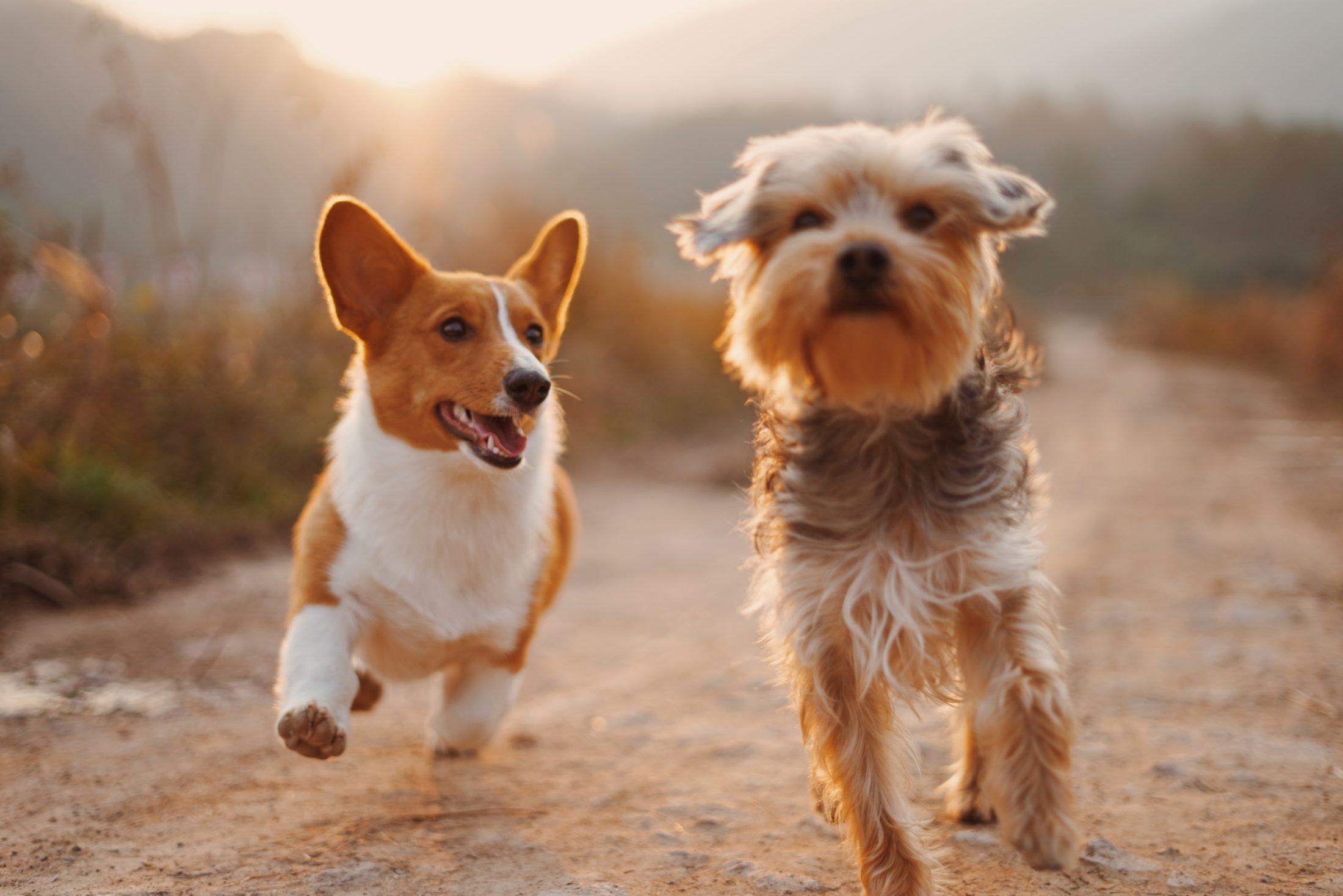cachorros correndo soltos