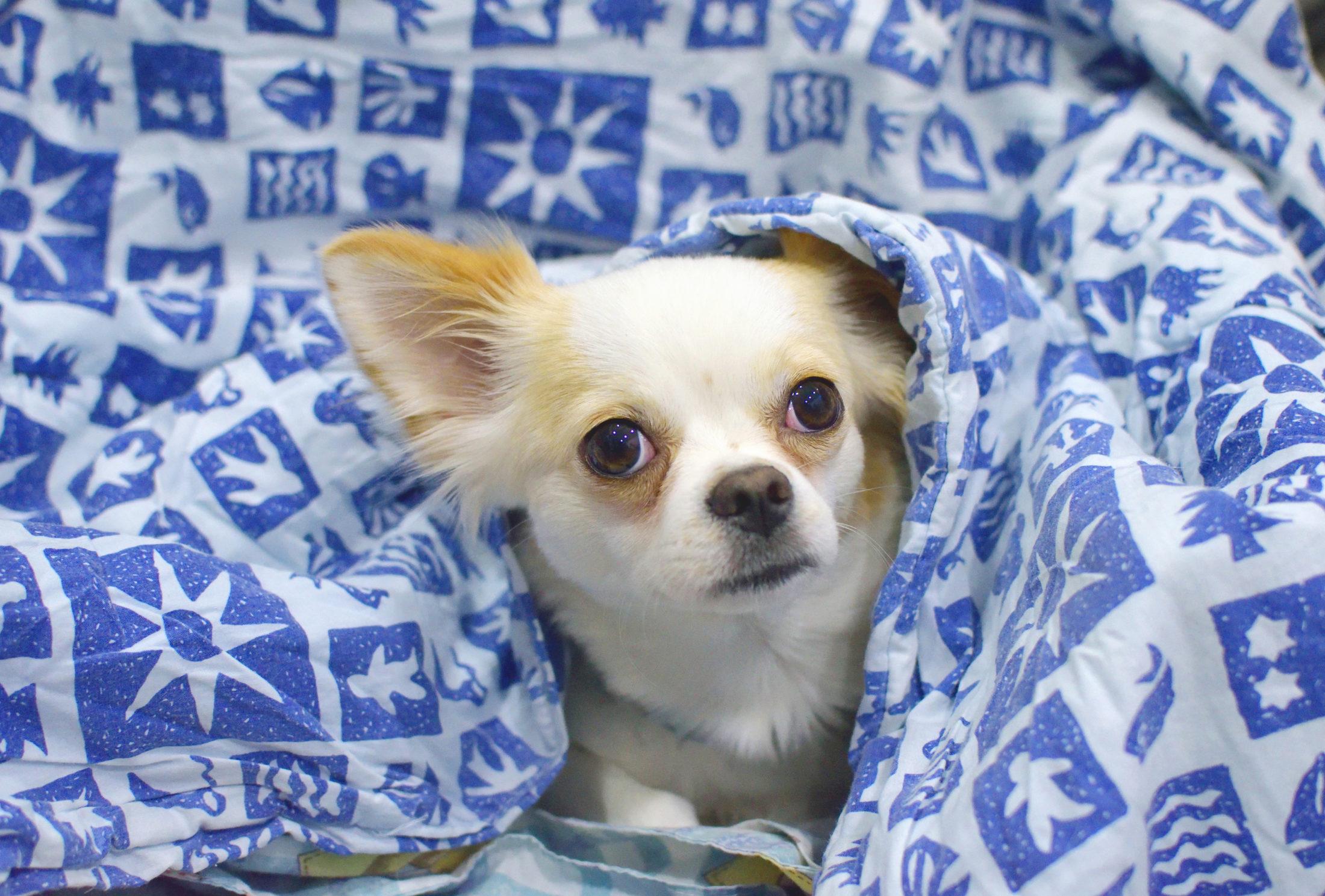 cachorro filhote chihuahua