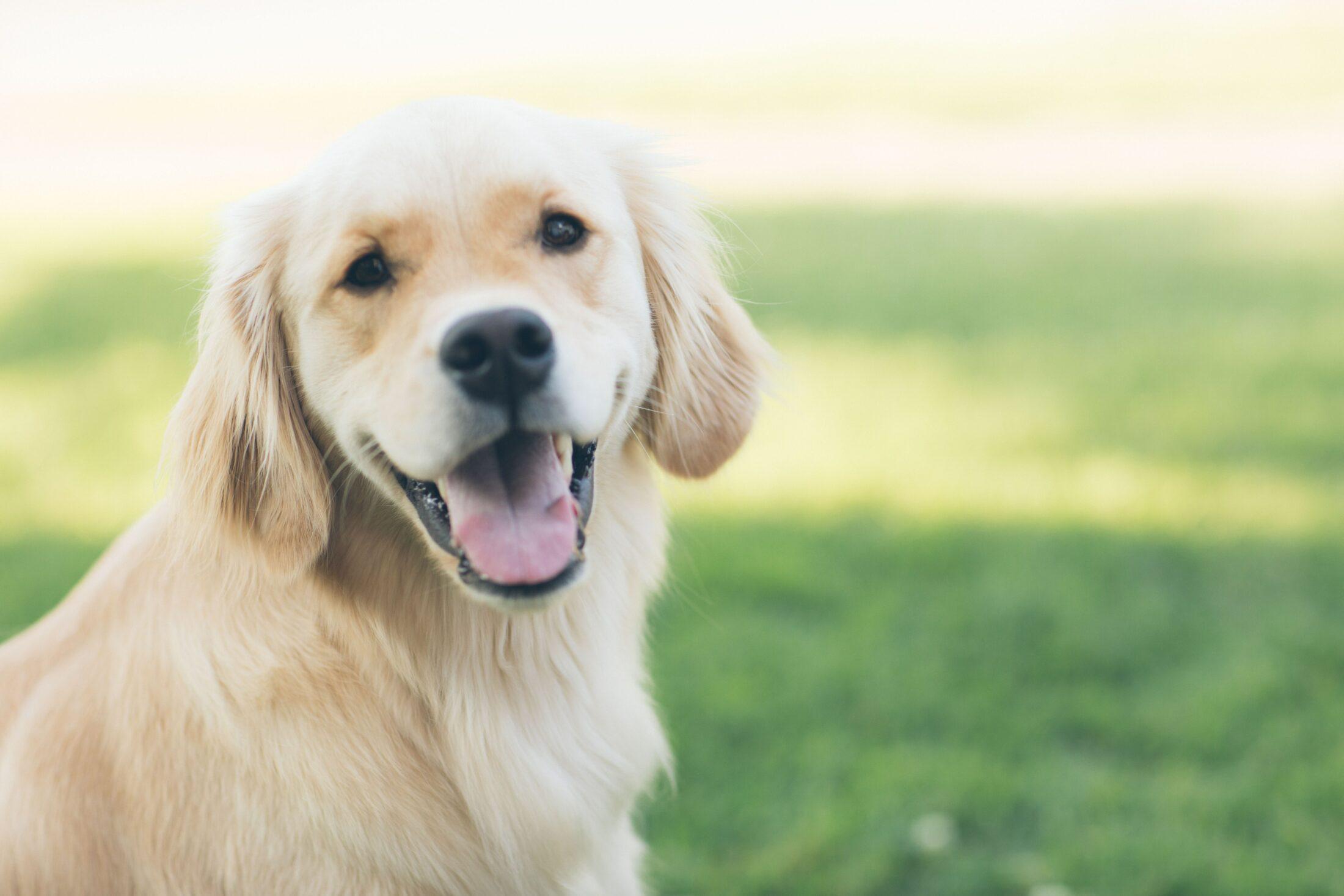 cachorro fofo - golden retriever