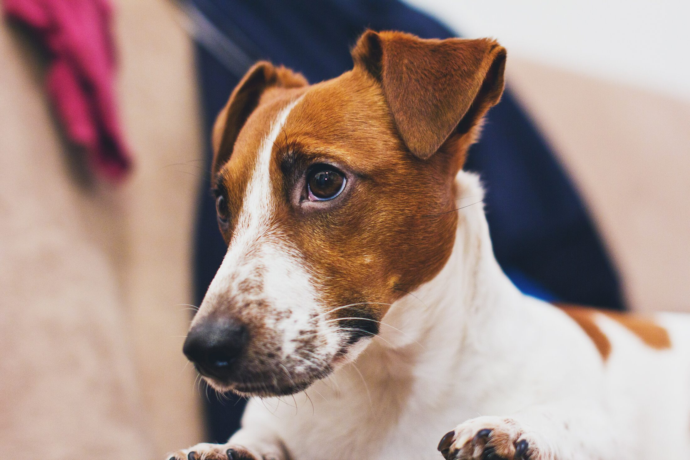cachorro fofo - jackrussell