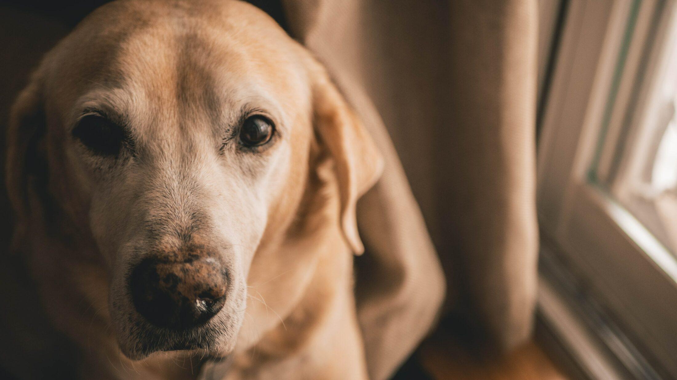 cachorro fofo - labrador