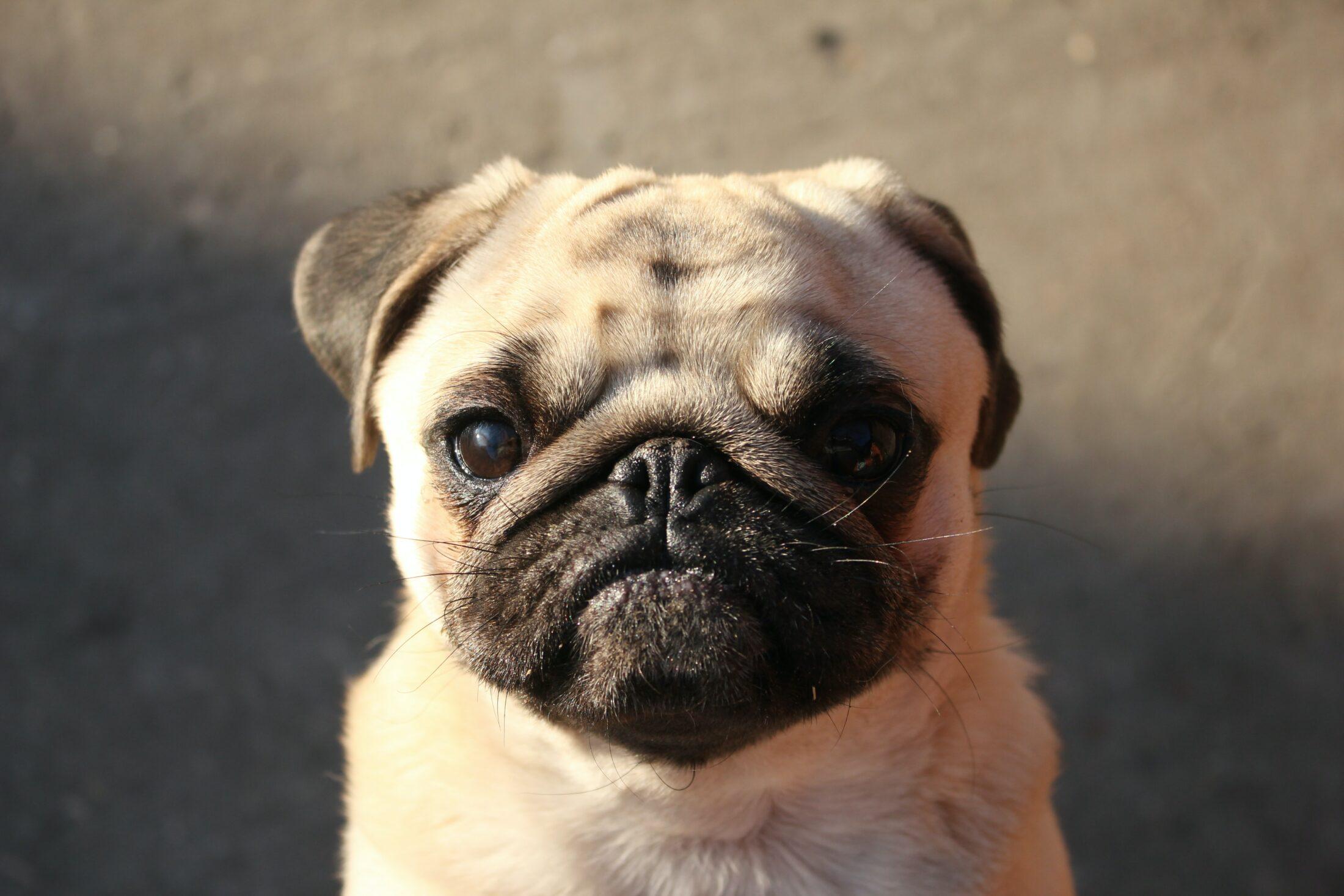 cachorro fofo - pug