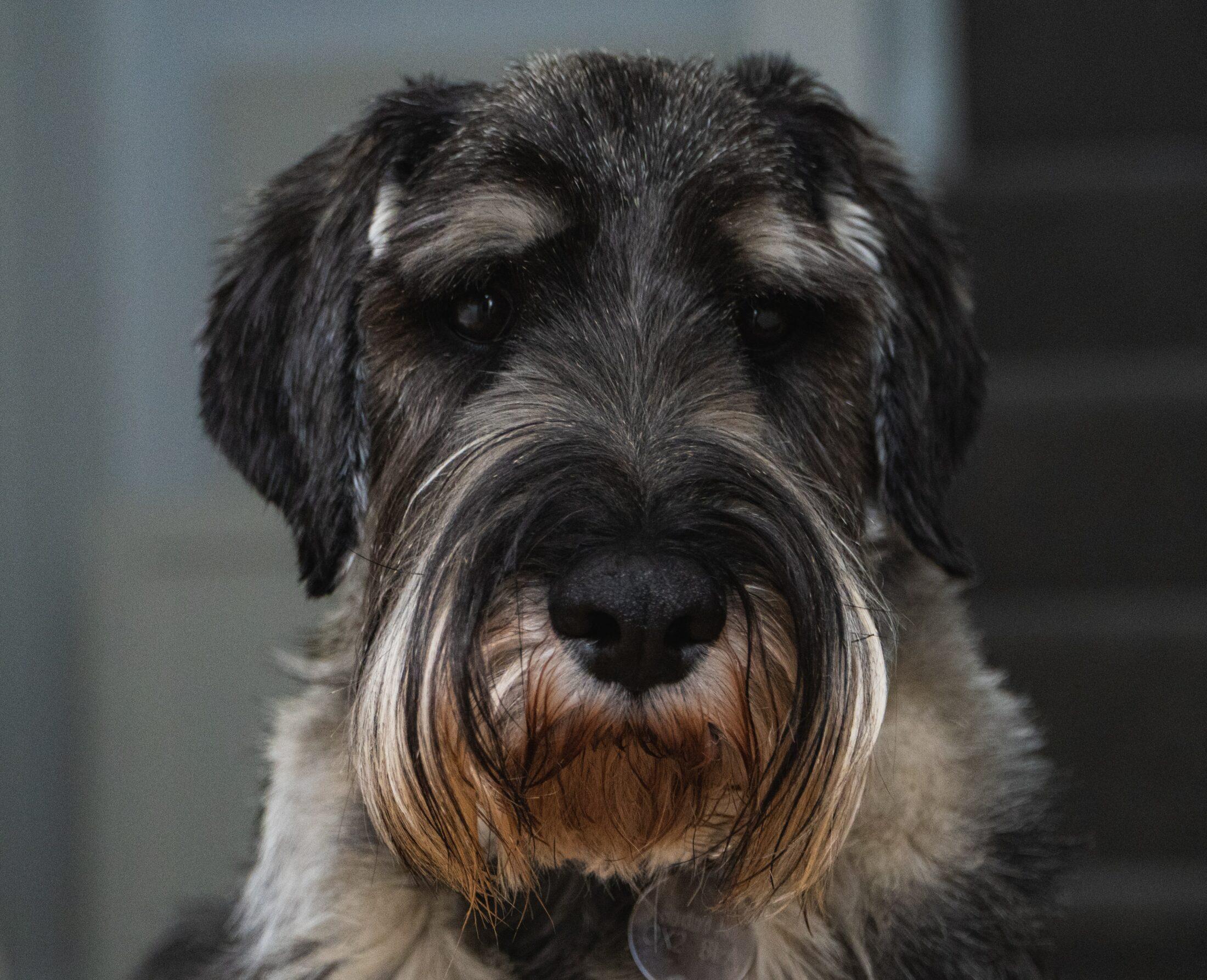 cachorro fofo - schnauzer