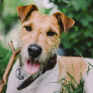 cachorro-fox-terrier