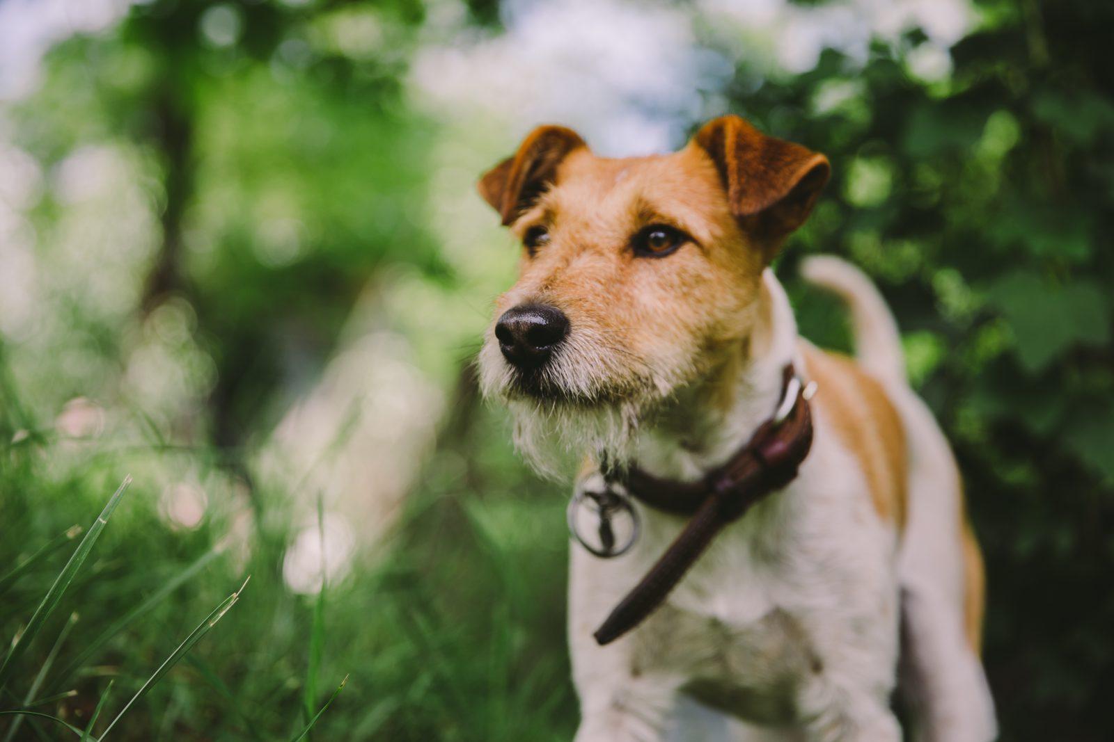 cachorro-fox-terrier-cuidados