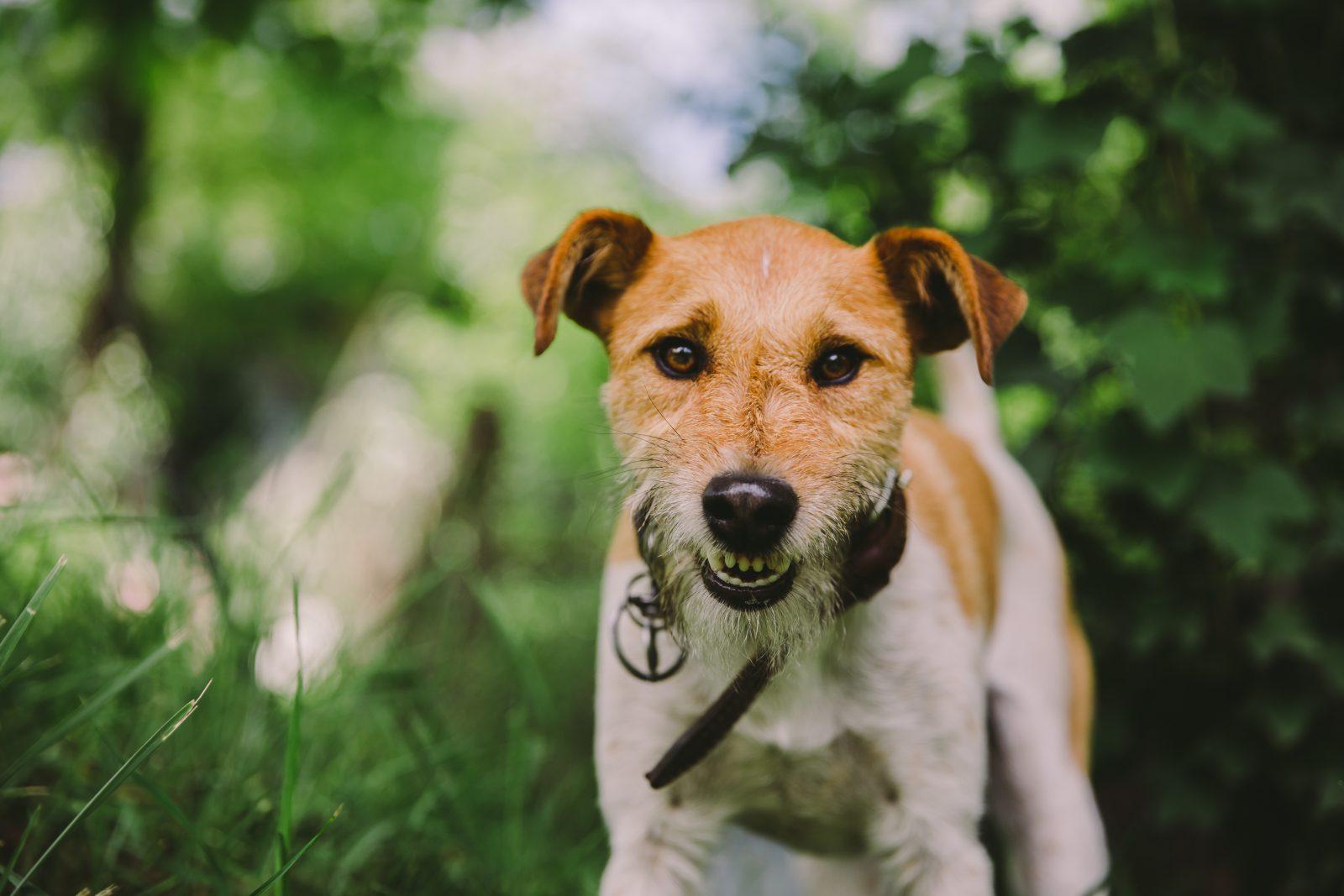 cachorro-fox-terrier-treinamento