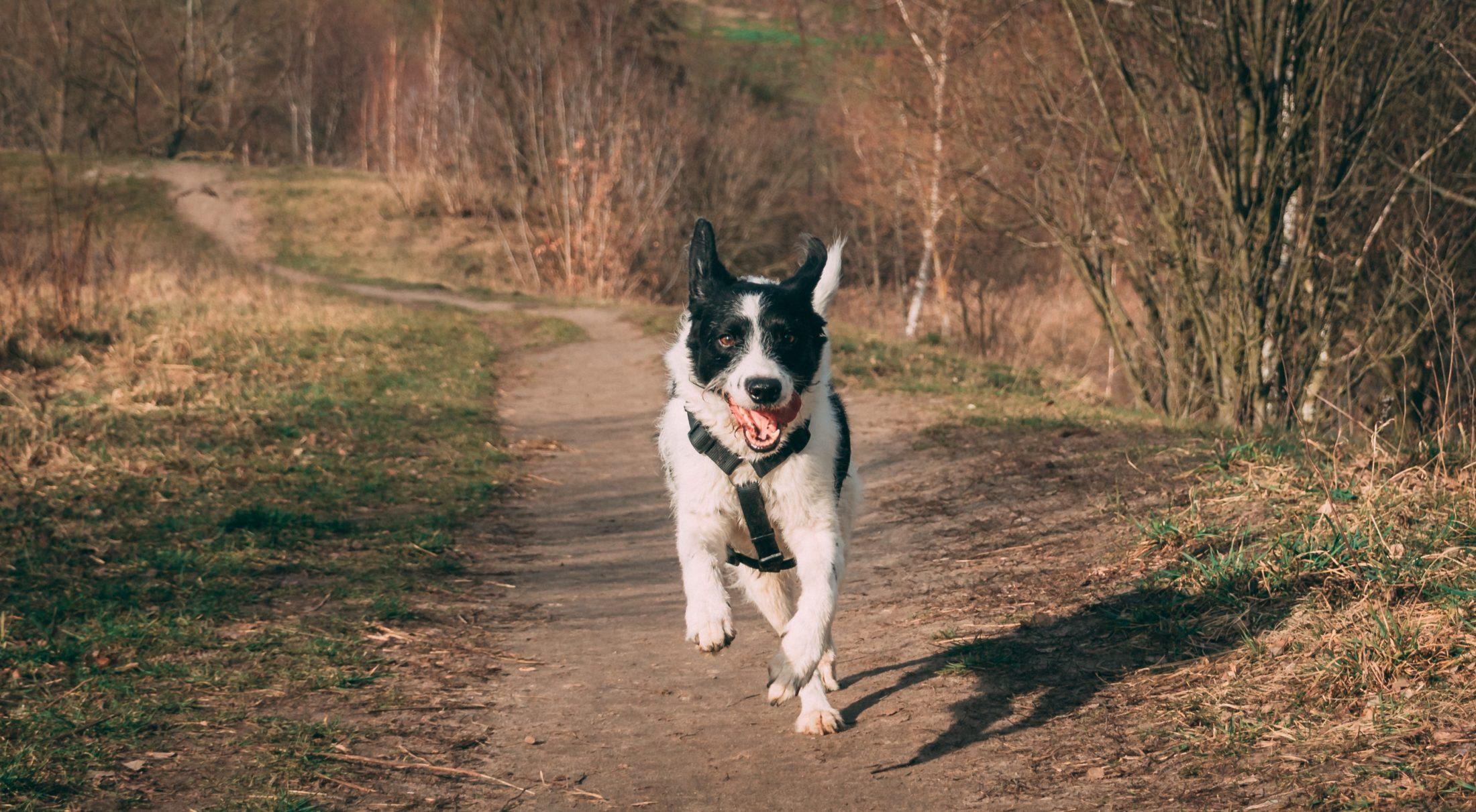 cachorro fujão em estrada de terra correndo solto