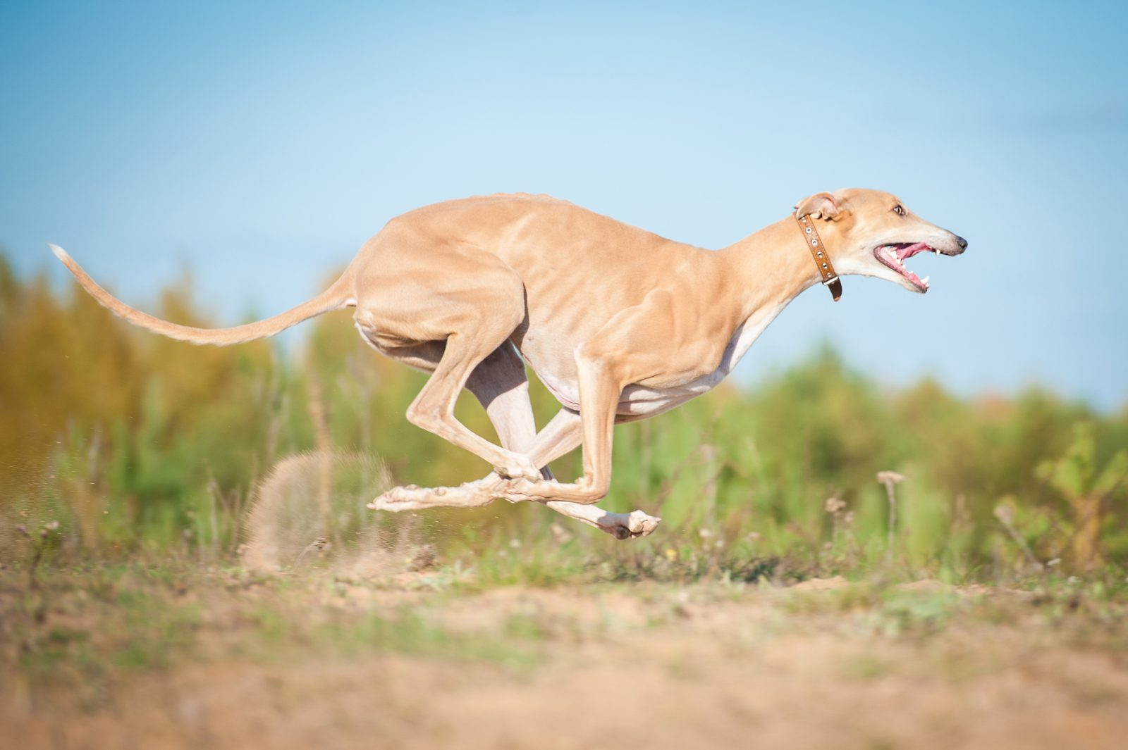 Cachorro galgo greyhound italiano.
