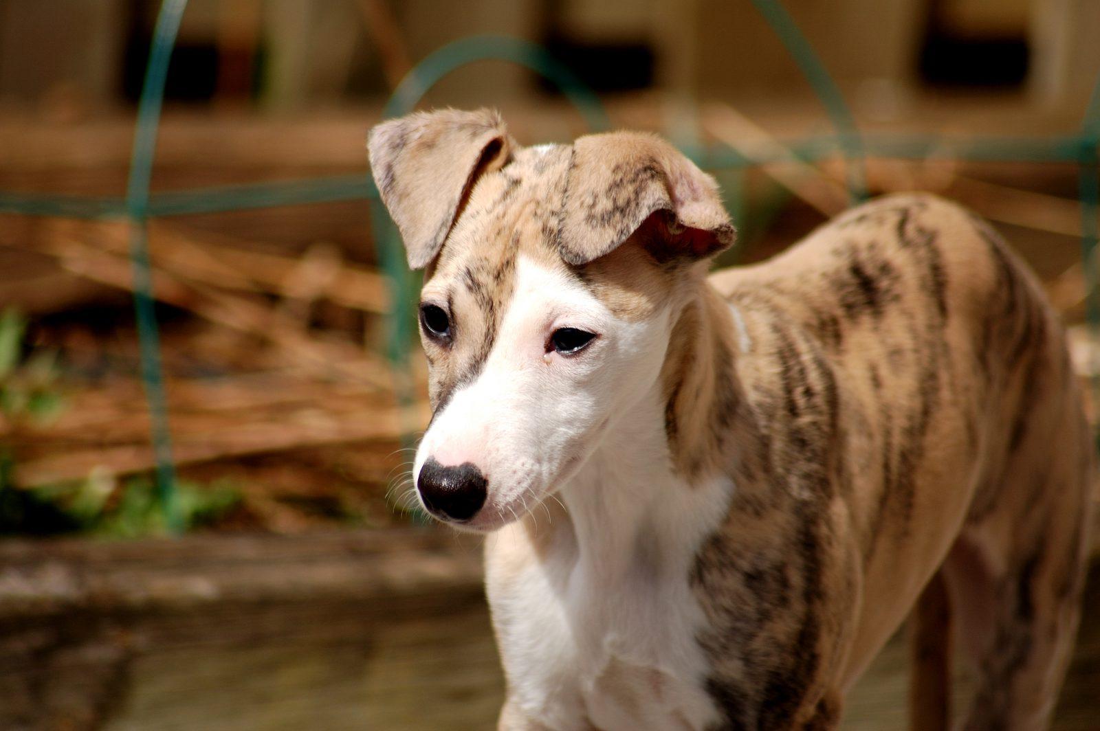 Cachorro galgo Whippet