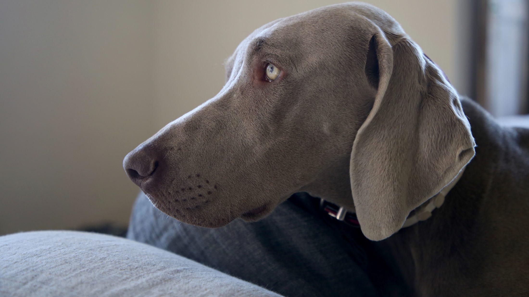 cachorro idoso weimaraner