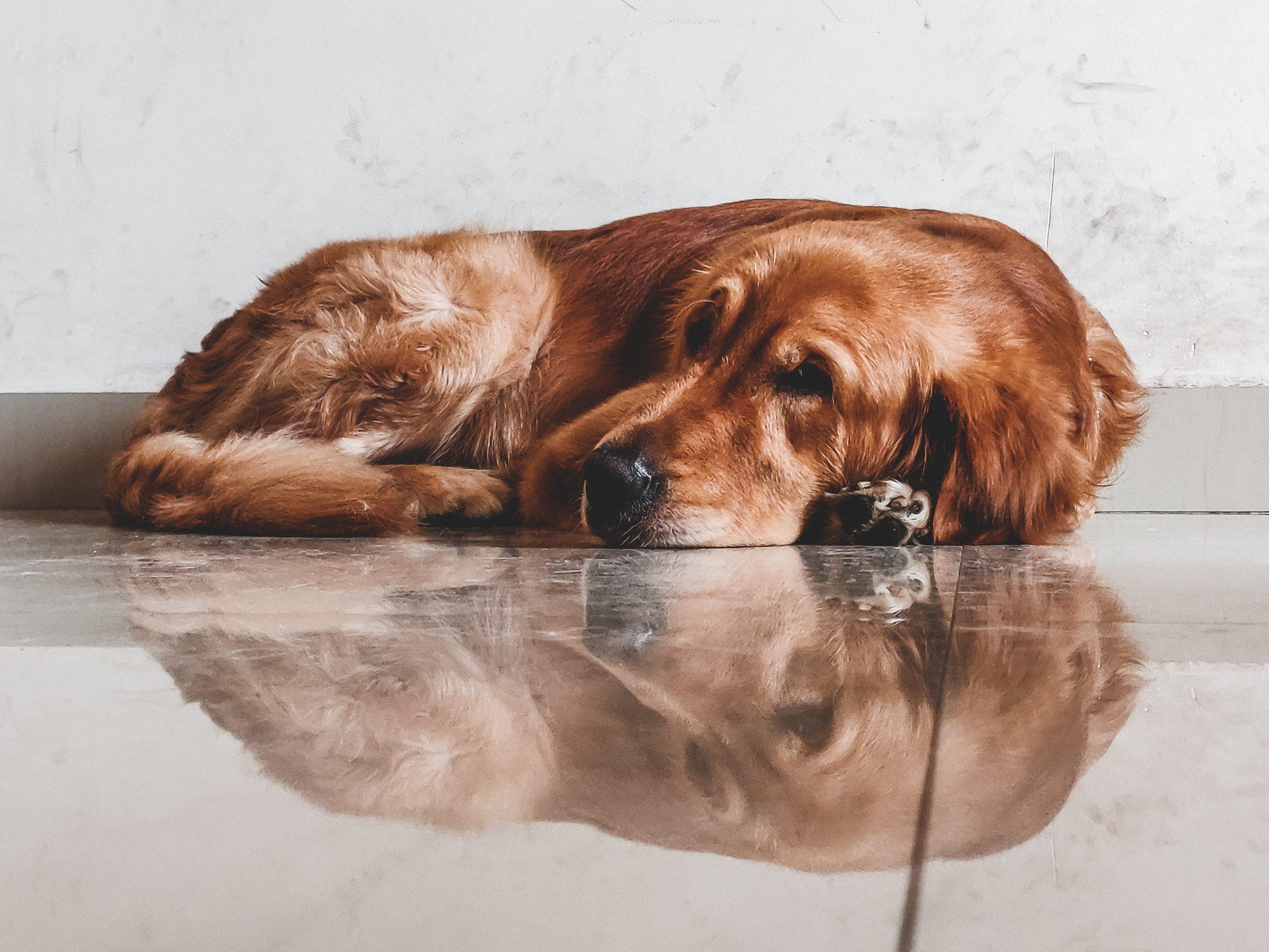 cachorro idoso deitado em chão frio liso e brilhante