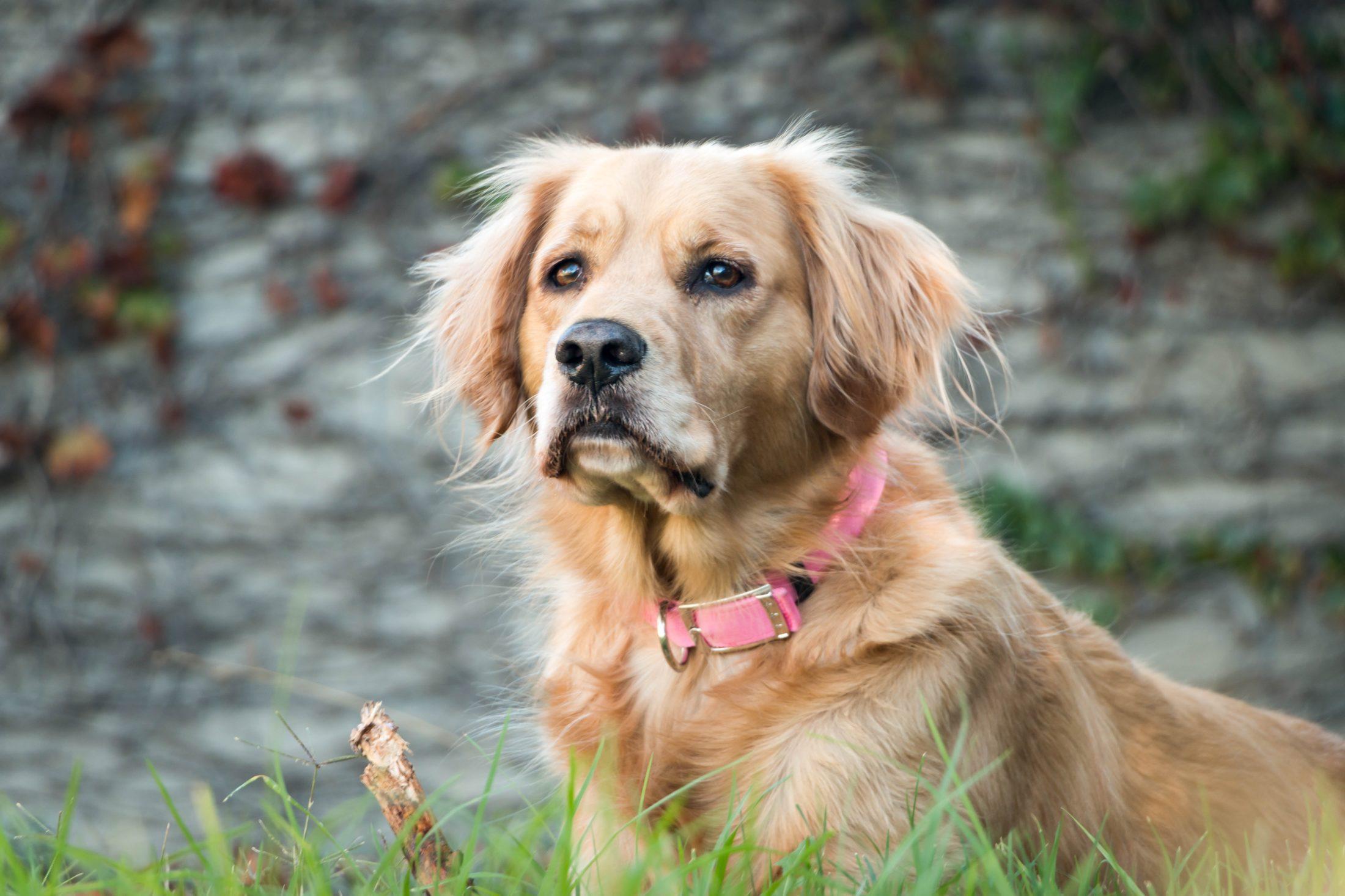 cachorro idoso no jardim