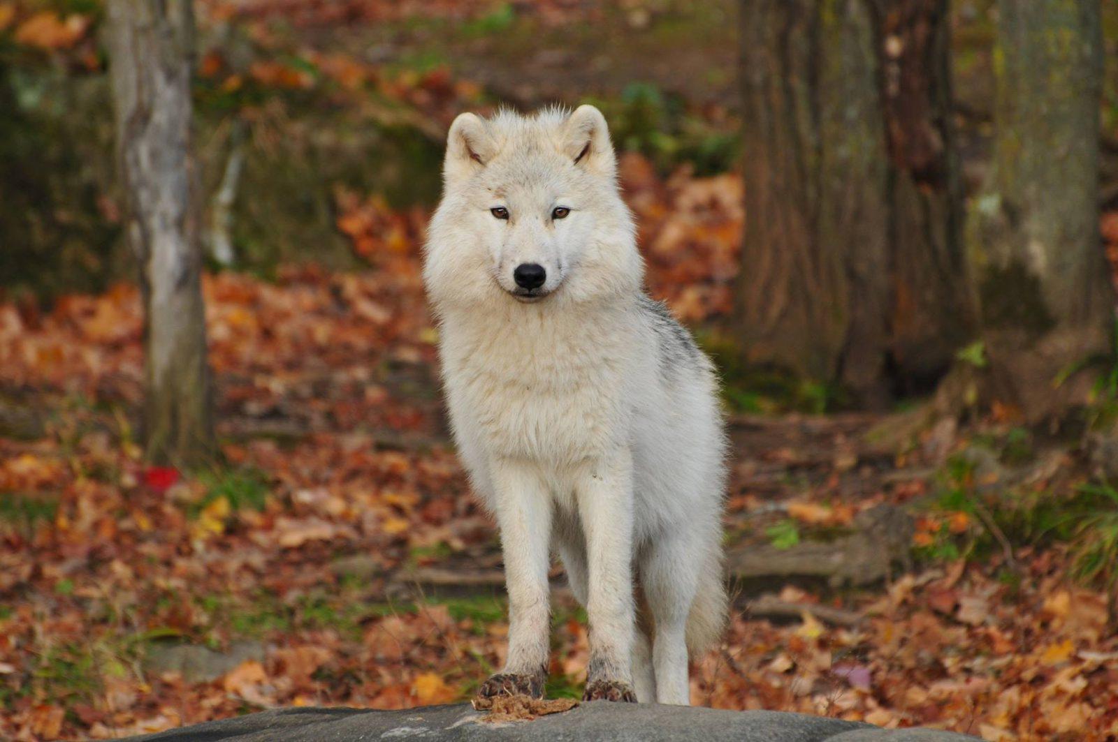 O cachorro lobo tem suas particularidades.