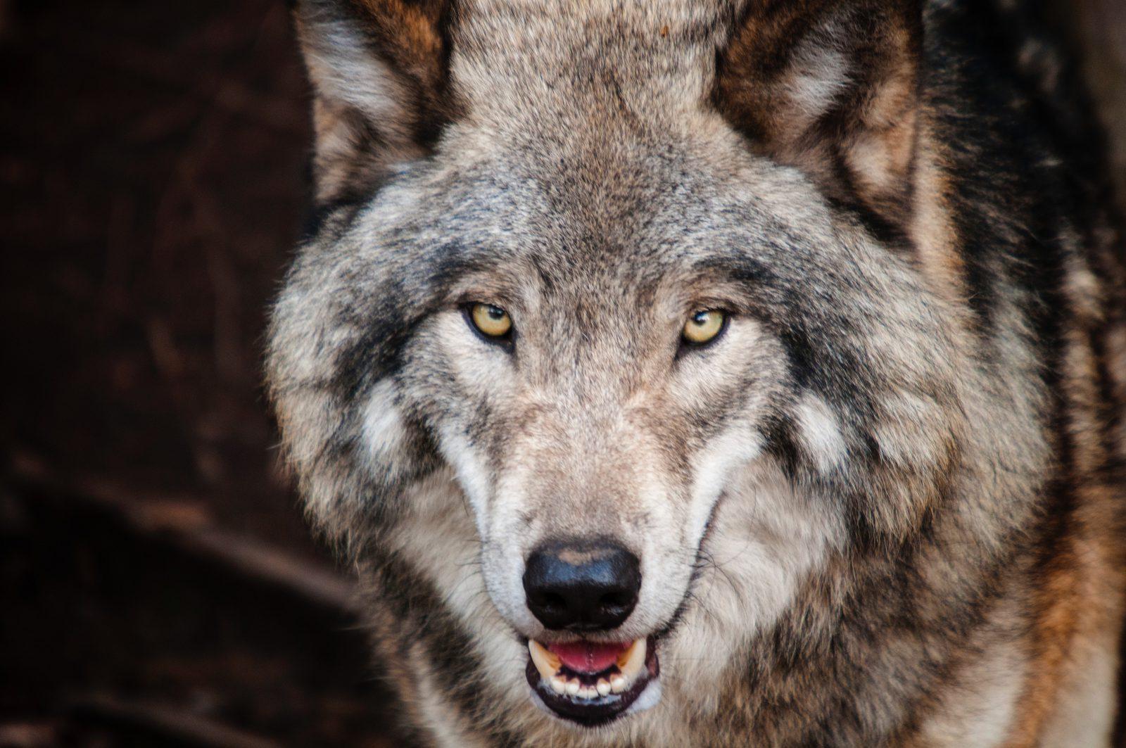 Cachorro lobo: especialistas encontraram genes de coiotes em cachorros.