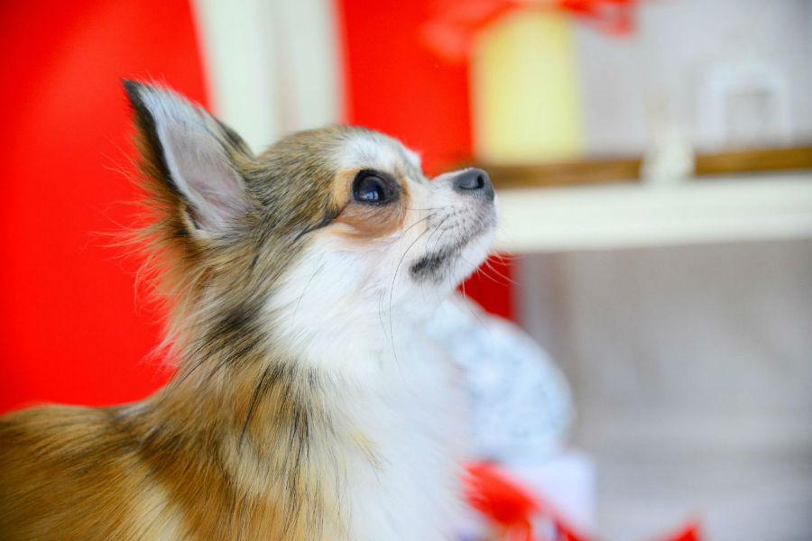 Qual cachorro vive mais: Chihuahua de pelagem longa bicolor - castanho e branco