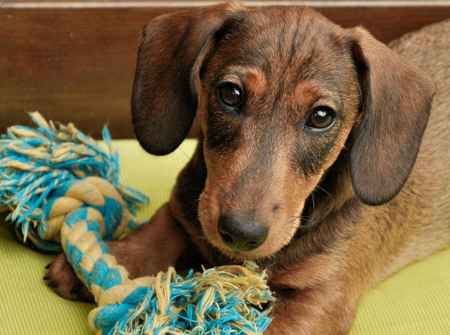 Qual cachorro vive mais: Daschund marrom de pêlo curto brincando com seu brinquedo.