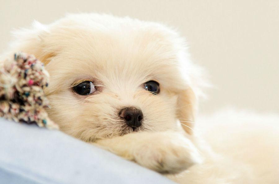 Qual cachorro vive mais: Filhote de Lhasa Apso branquinho.