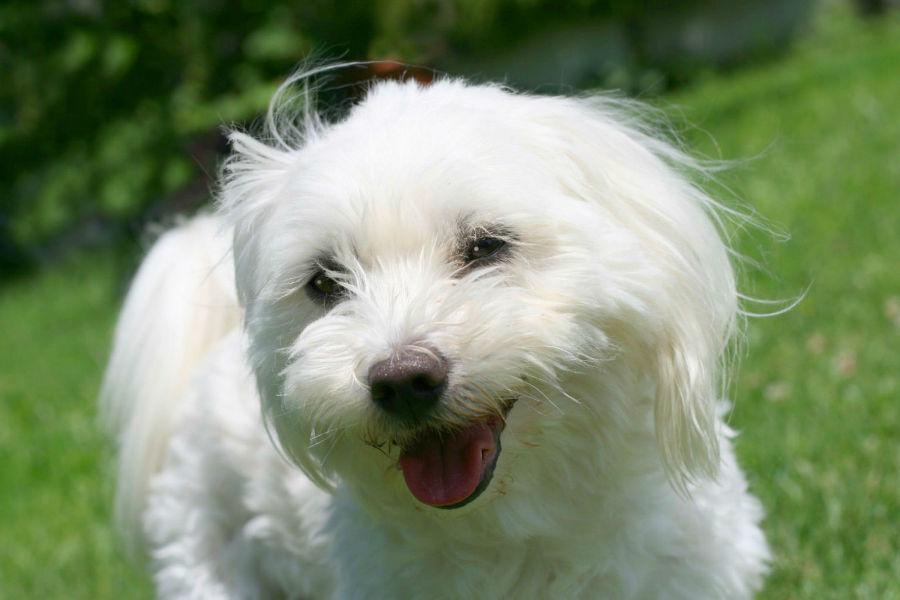 Qual cachorro vive mais: Pequeno Maltês e sua pelagem toda branquinha como a neve.